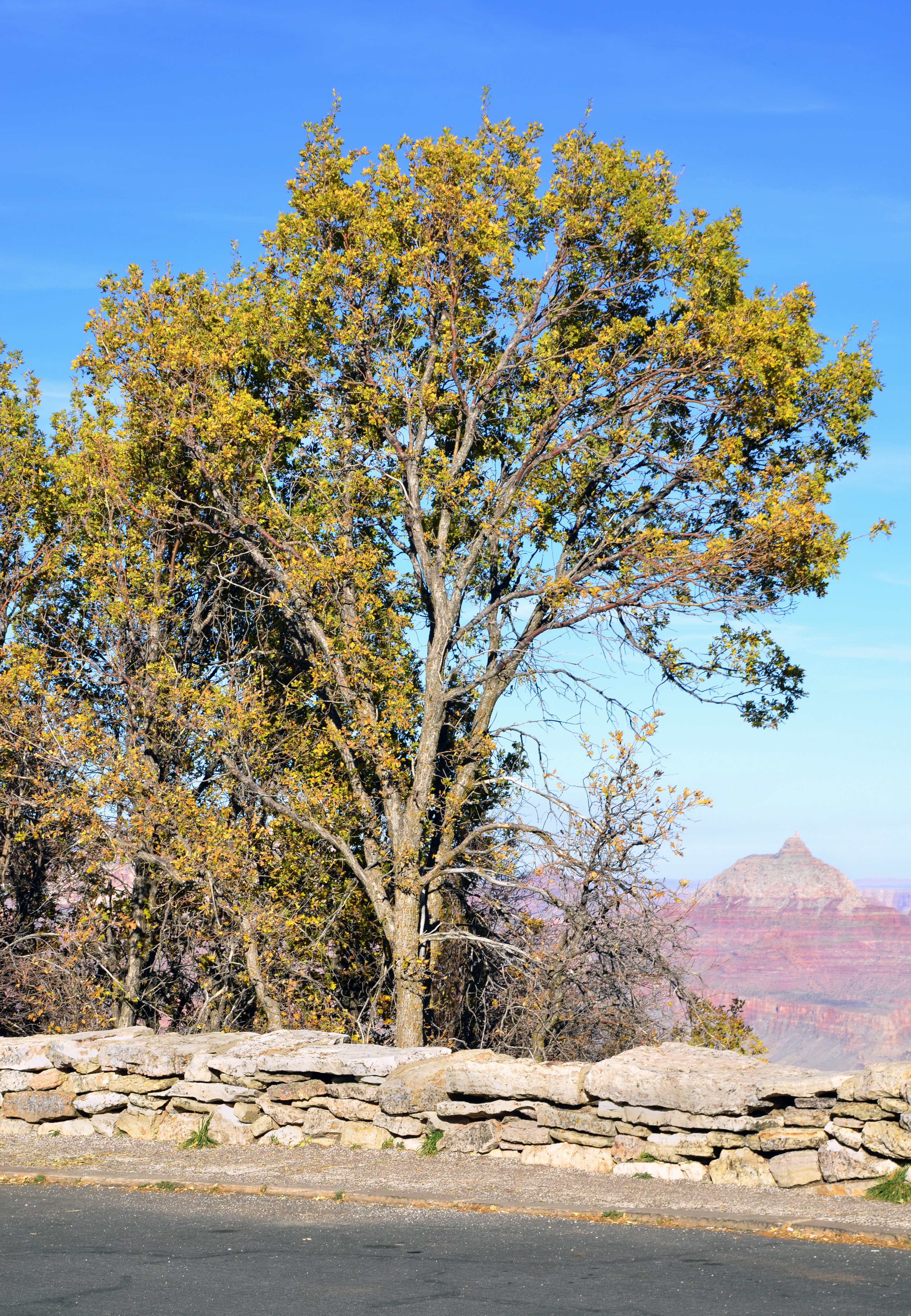 file grand canyon national park  gambel oak in fall 1704