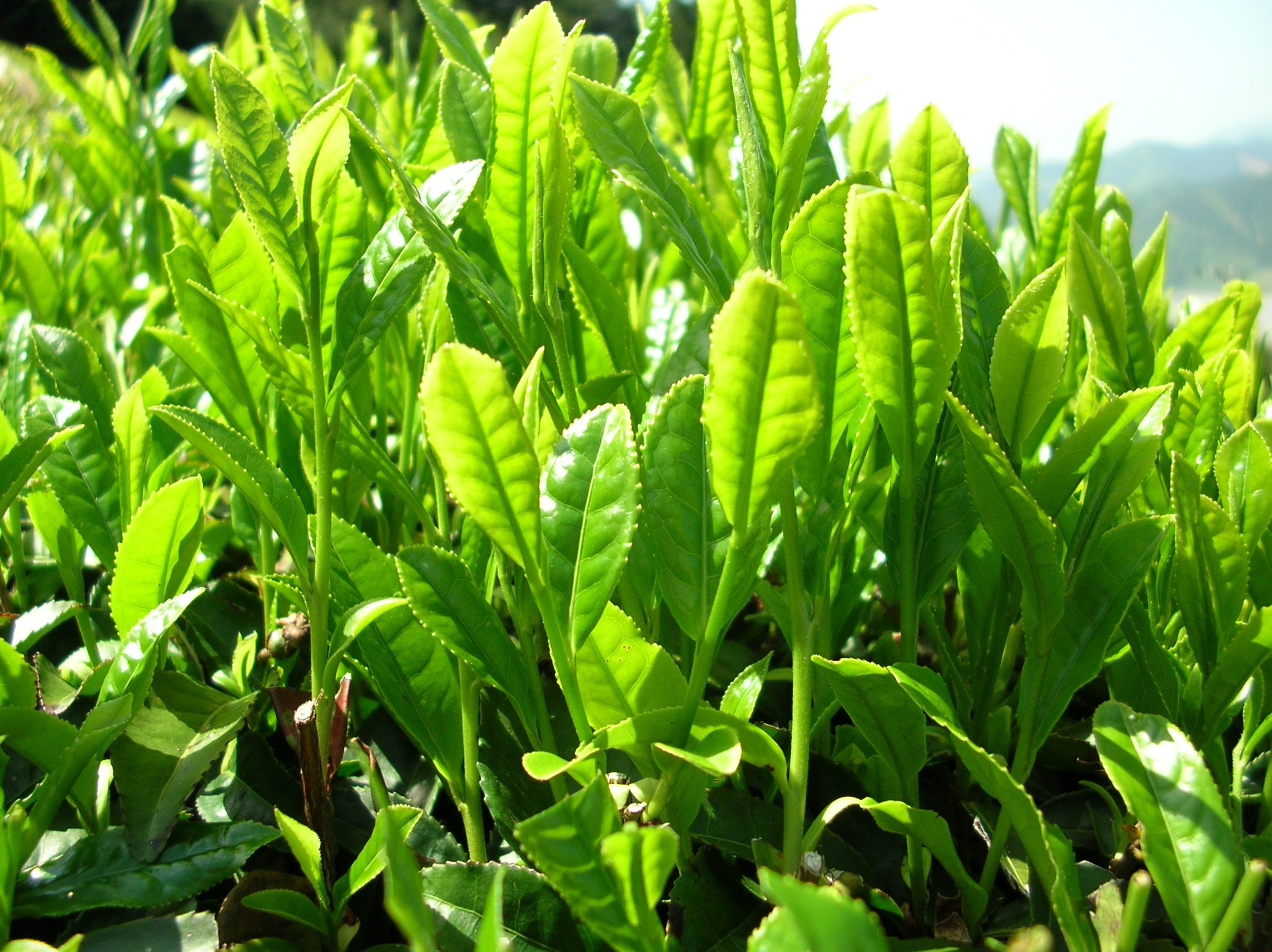 File:Green tea leaves.jpg - Wikimedia Commons
