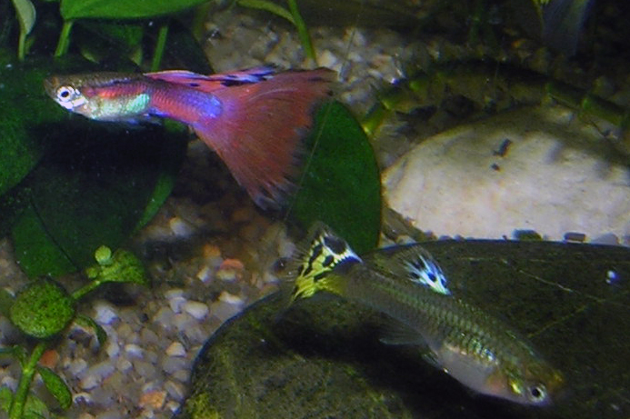 File:Guppy-Male-and-Female.JPG - Wikimedia Commons Guppy Fish Eggs In Tank