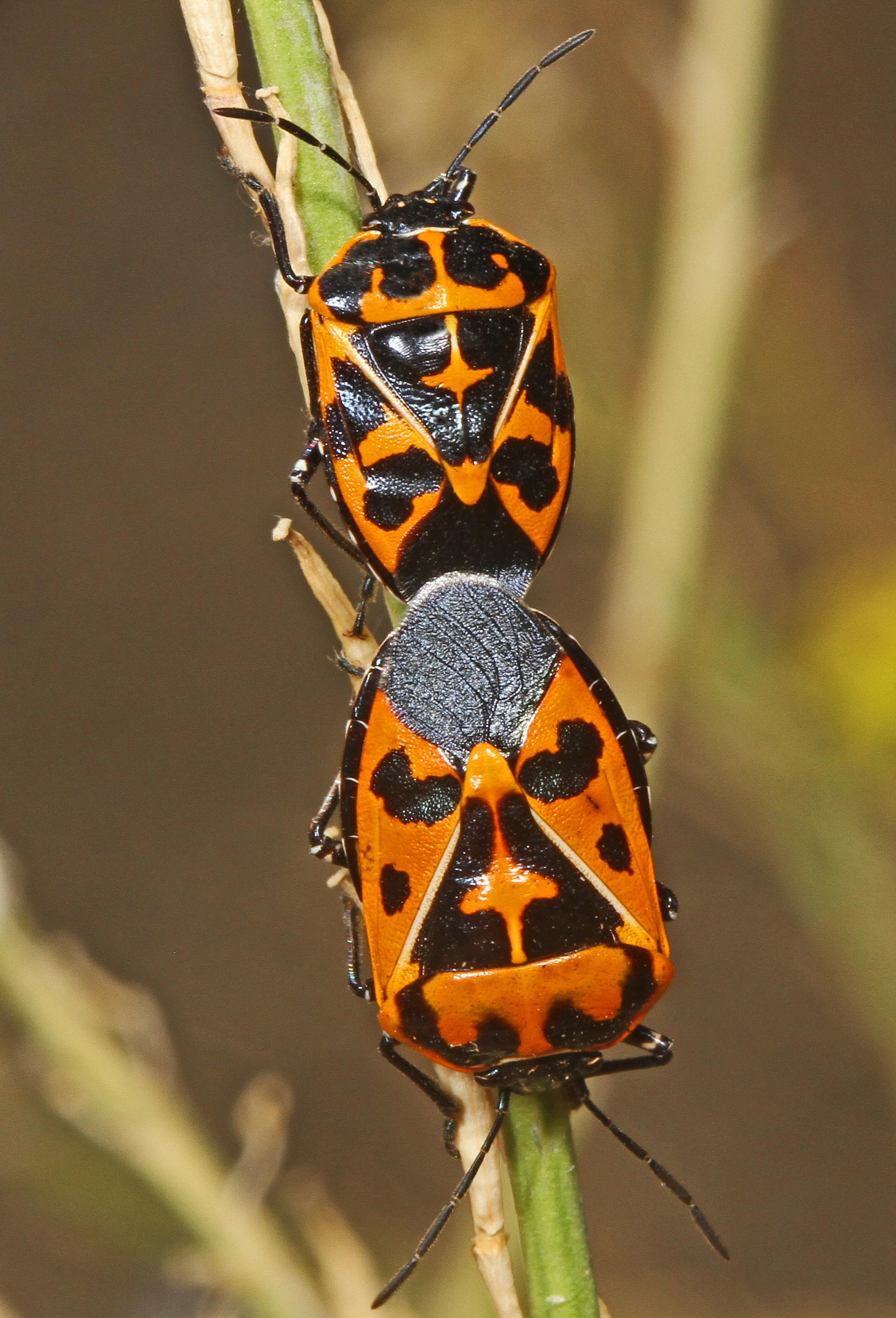 Harlequin cabbage bug - Wikipedia
