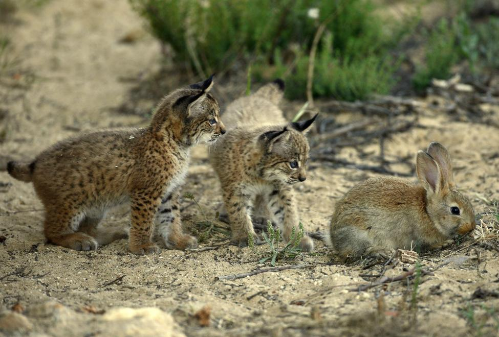 By http://www.lynxexsitu.es - http://www.lynxexsitu.es/index.php?accion=fotos&id=20#lince, CC BY 3.0 es, https://commons.wikimedia.org/w/index.php?curid=27381068