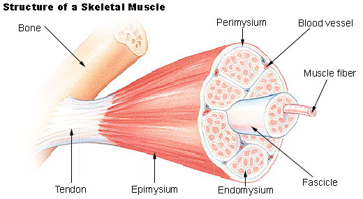 Microscopic Anatomy And Organization Of Skeletal Muscle Flashcards
