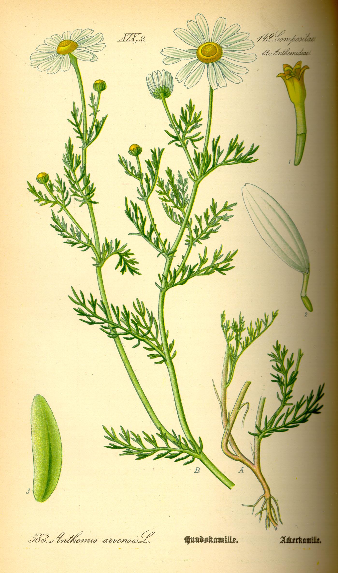 Depiction of Anthemis arvensis