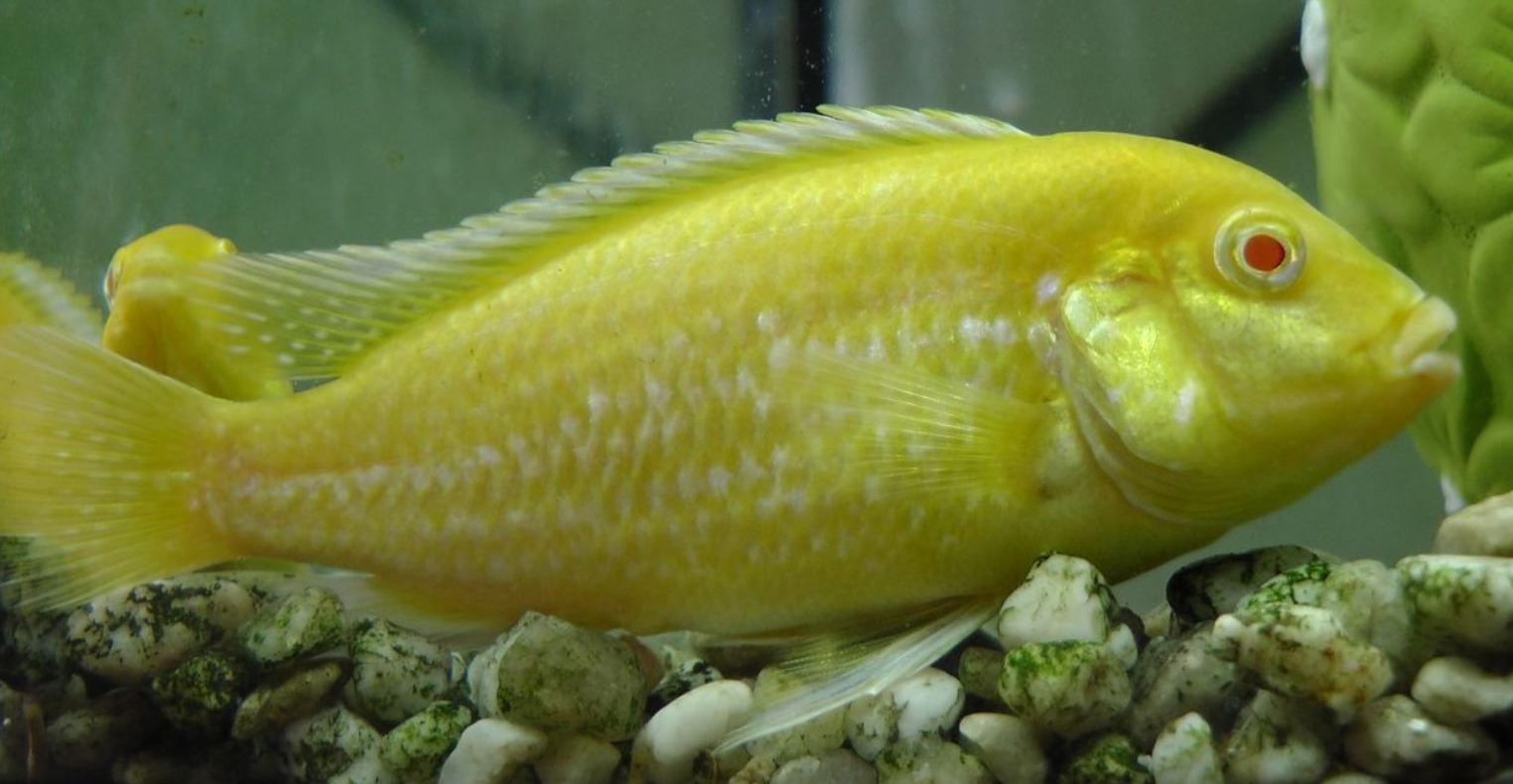 File:Labidochromis Caeruleus Albino 02.JPG - Wikimedia Commons  File:Labidochro...