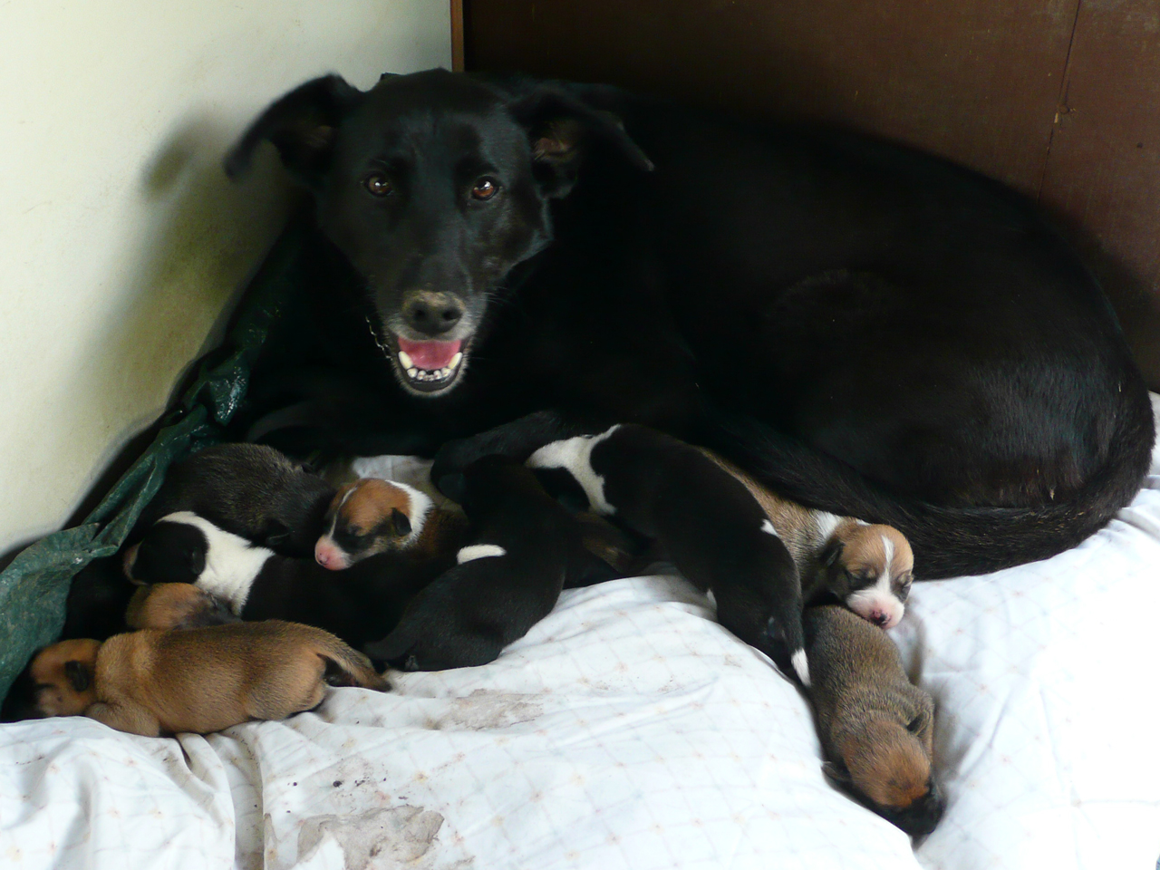 Baby Labrador Retriever