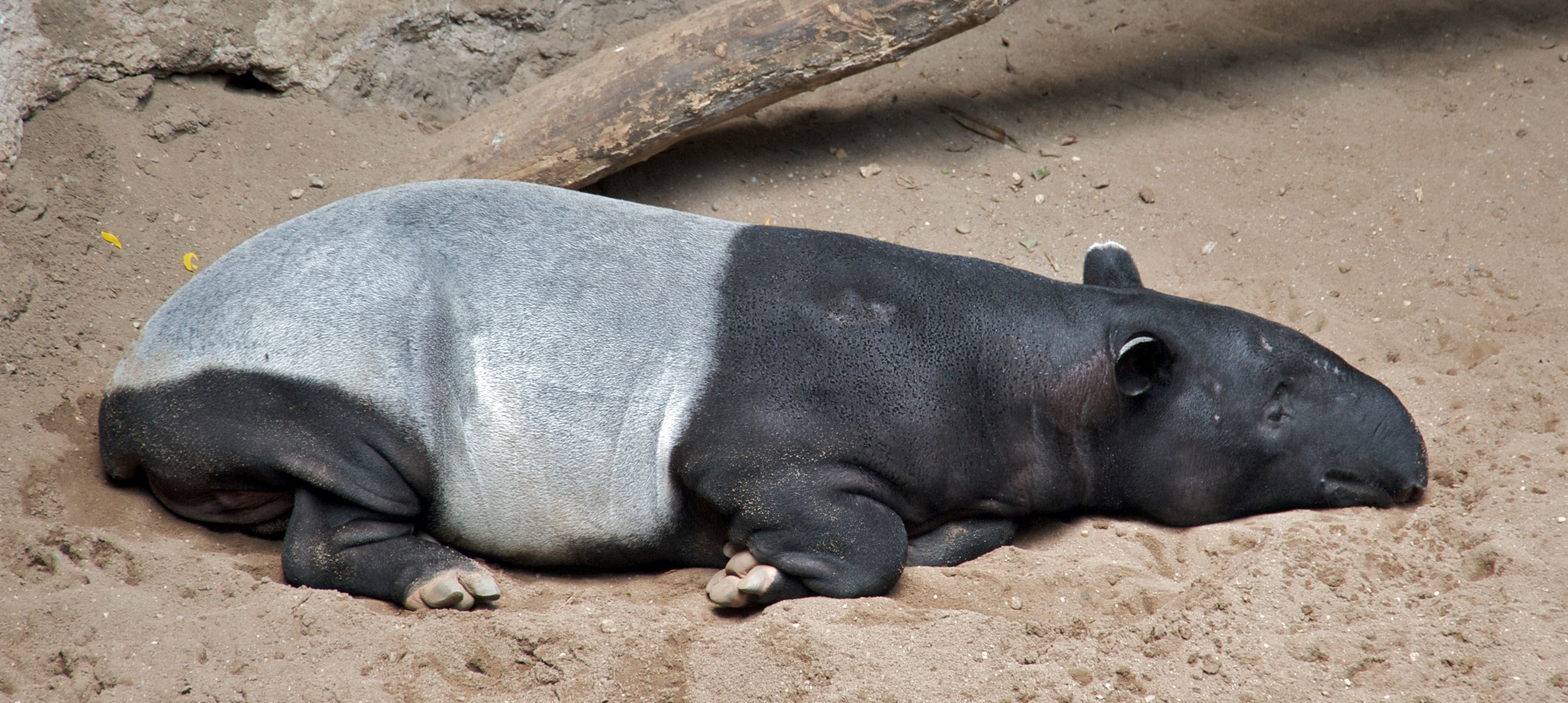 file malayan tapir tapirus indicus at bronx zoo cropped