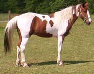 Missouri Fox Trotter - Horse Scanner