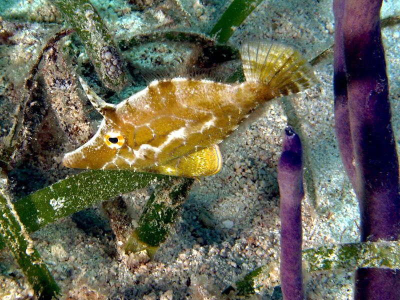 Monocanthus tuckeri %28Slender filefish%29 Haiti Slender Filefish saltwater fish
