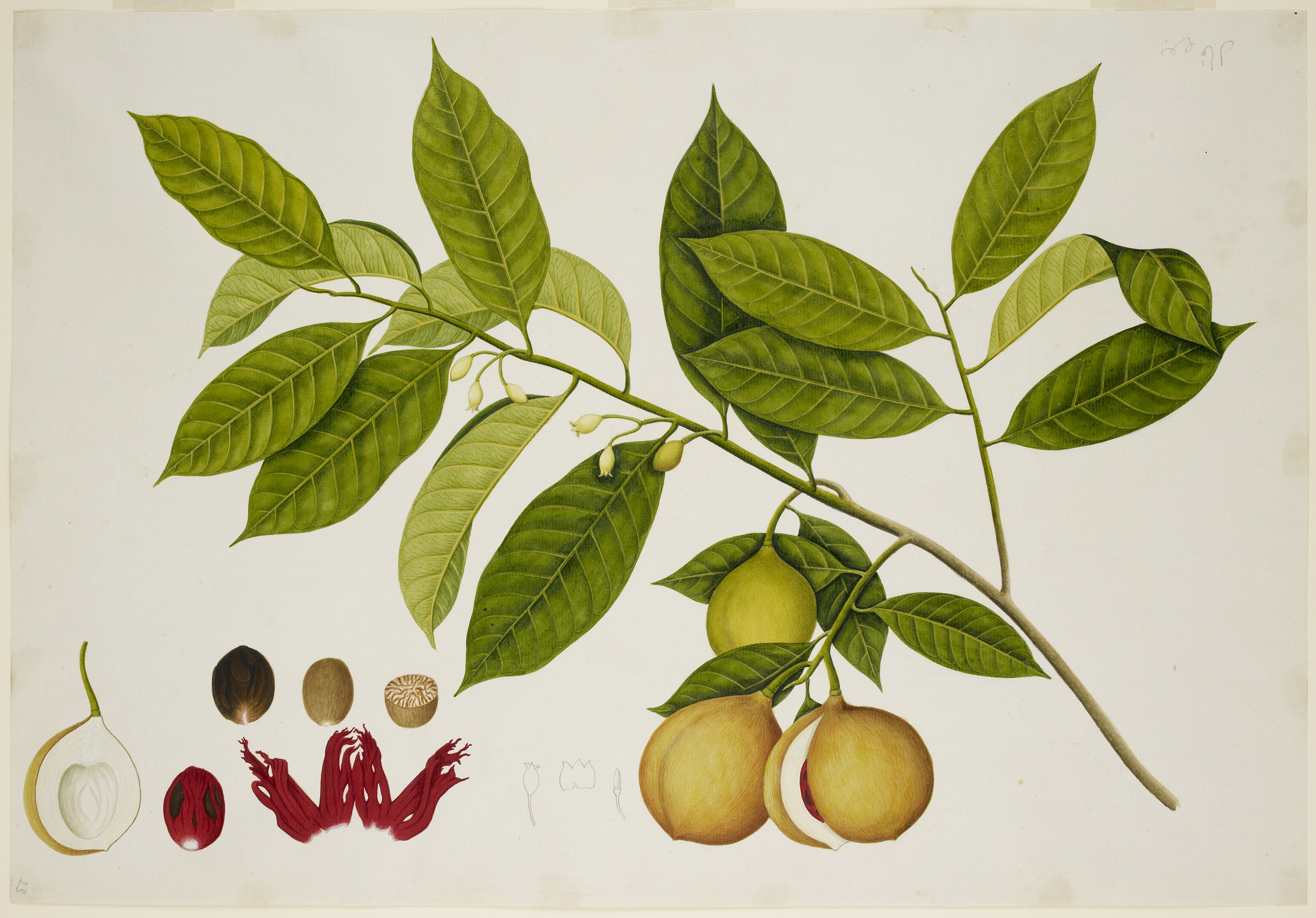 File:Nutmeg Tree - 40 drawings of plants at Bencoolen, Sumatra (c.