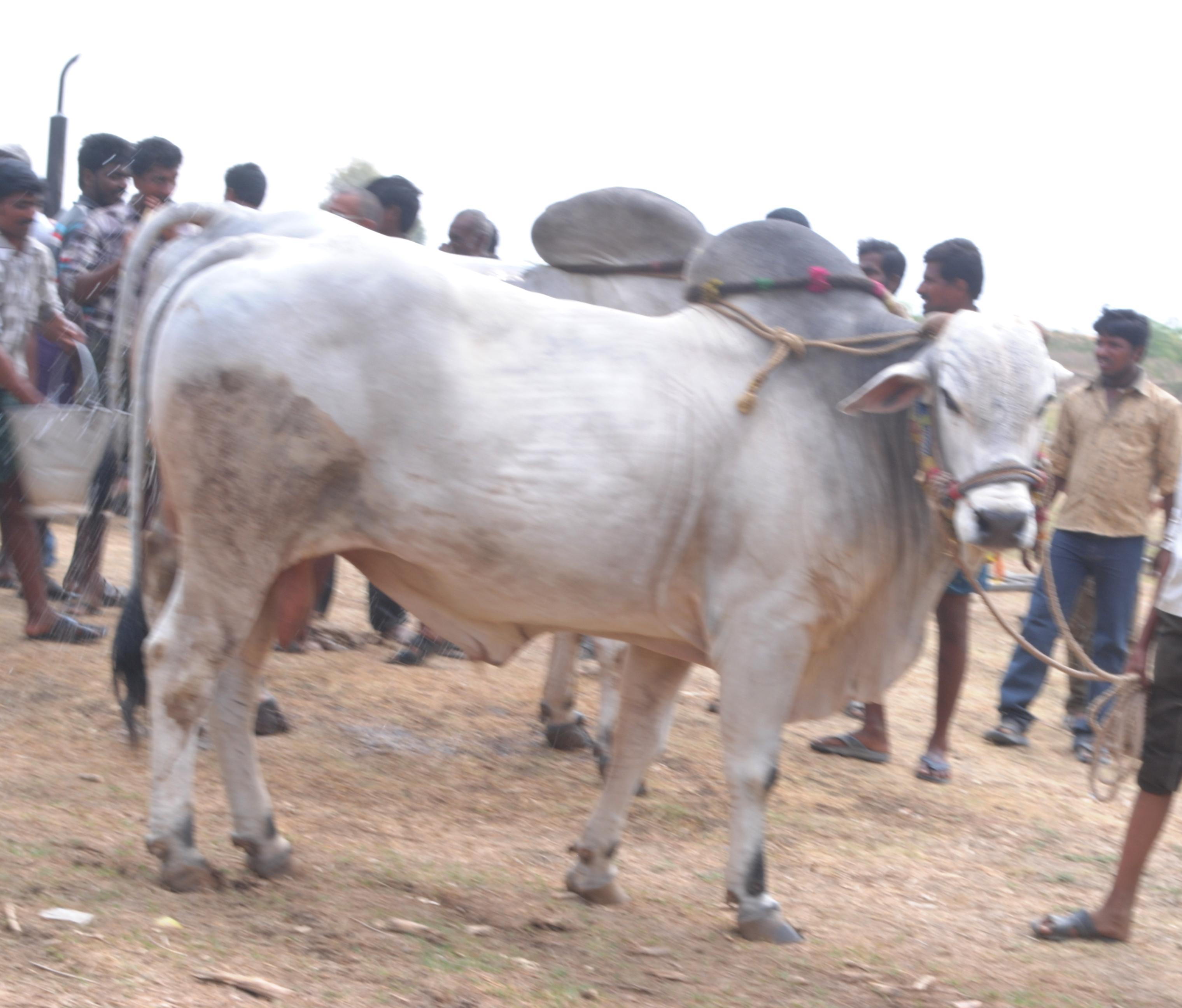 file ongole bull competitions prakasam district jpg wikimedia commons