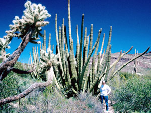 Organ Pipe cactus in Arizona