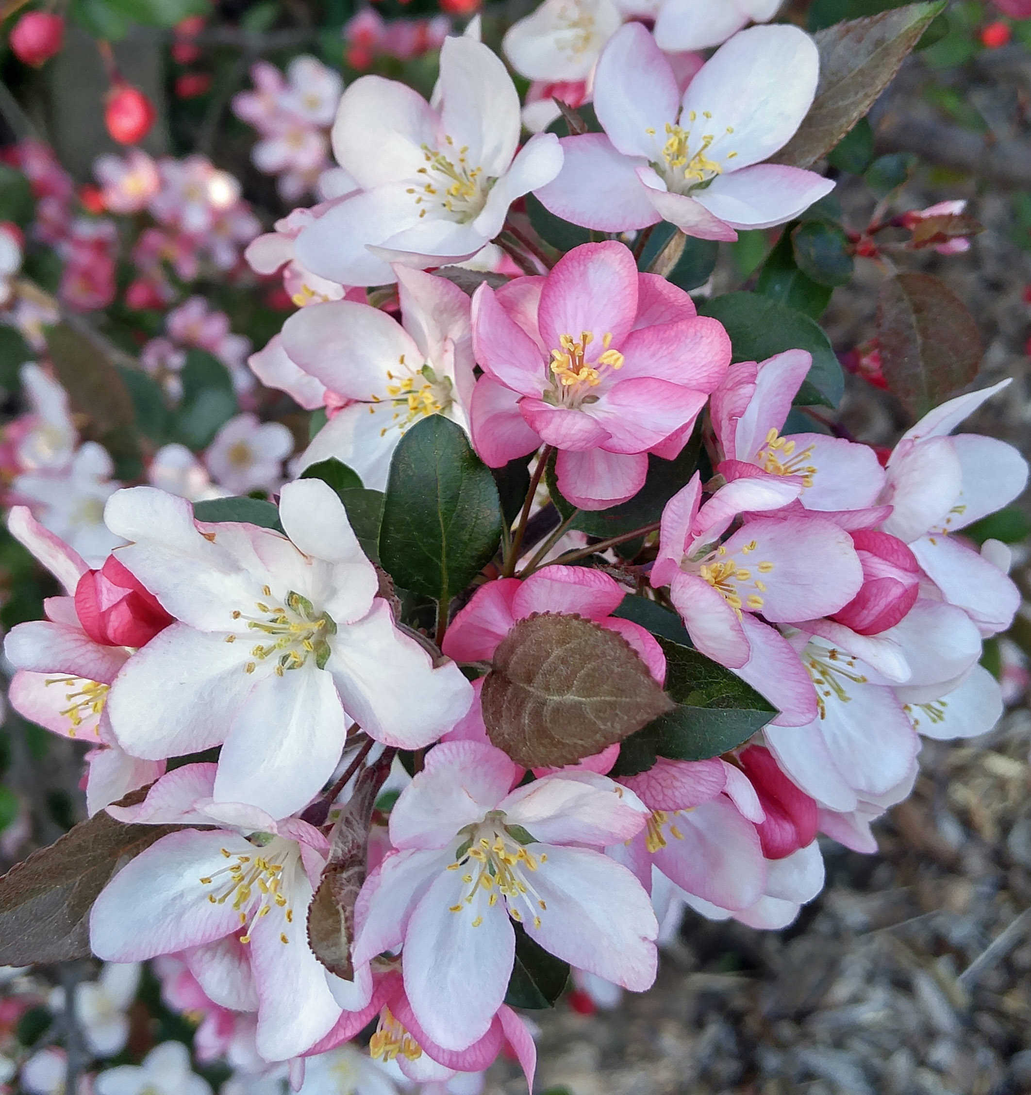 Filepink And White Crab Apple Flowersg Wikimedia Commons