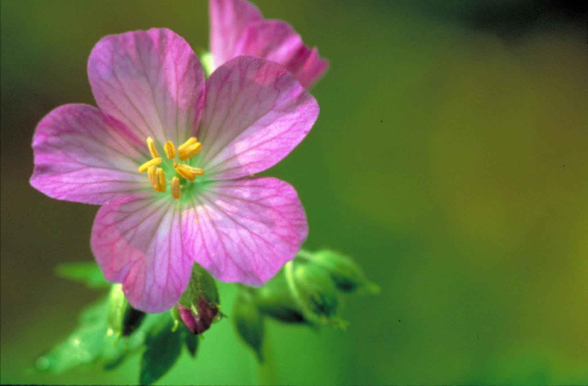 filepretty purple wild geranium flower in bloom geranium, Beautiful flower