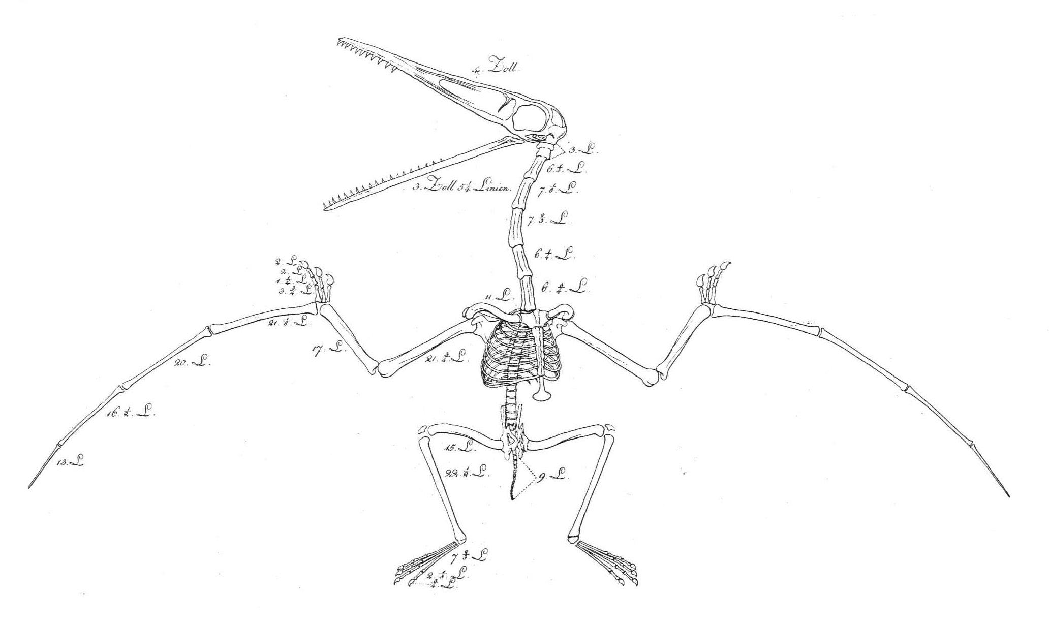 Description Pterosaur reconstruction Soemmerring 1812.jpg
