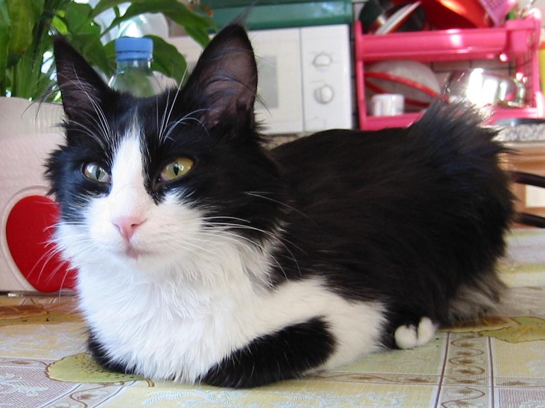 Angora turecka - Cat Scanner