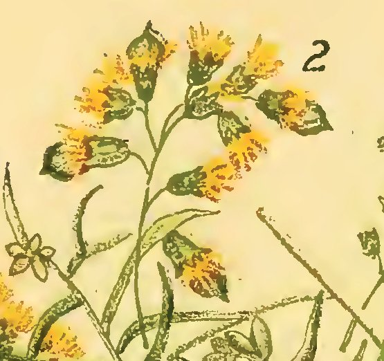 Illustration of galls of Rhopalomyia racemicola on an unidentified Solidago by L. H. Joutel in Felt's 1913(1915) 29th Report of the State Entolomogist
