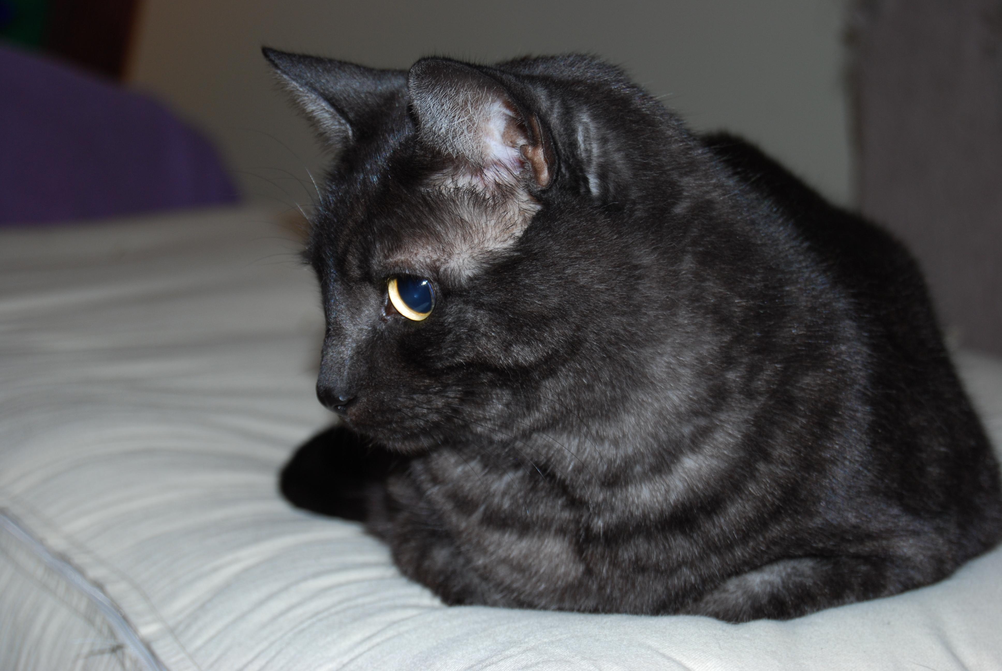 Lost Grey Cat With White Paws Cheltenham