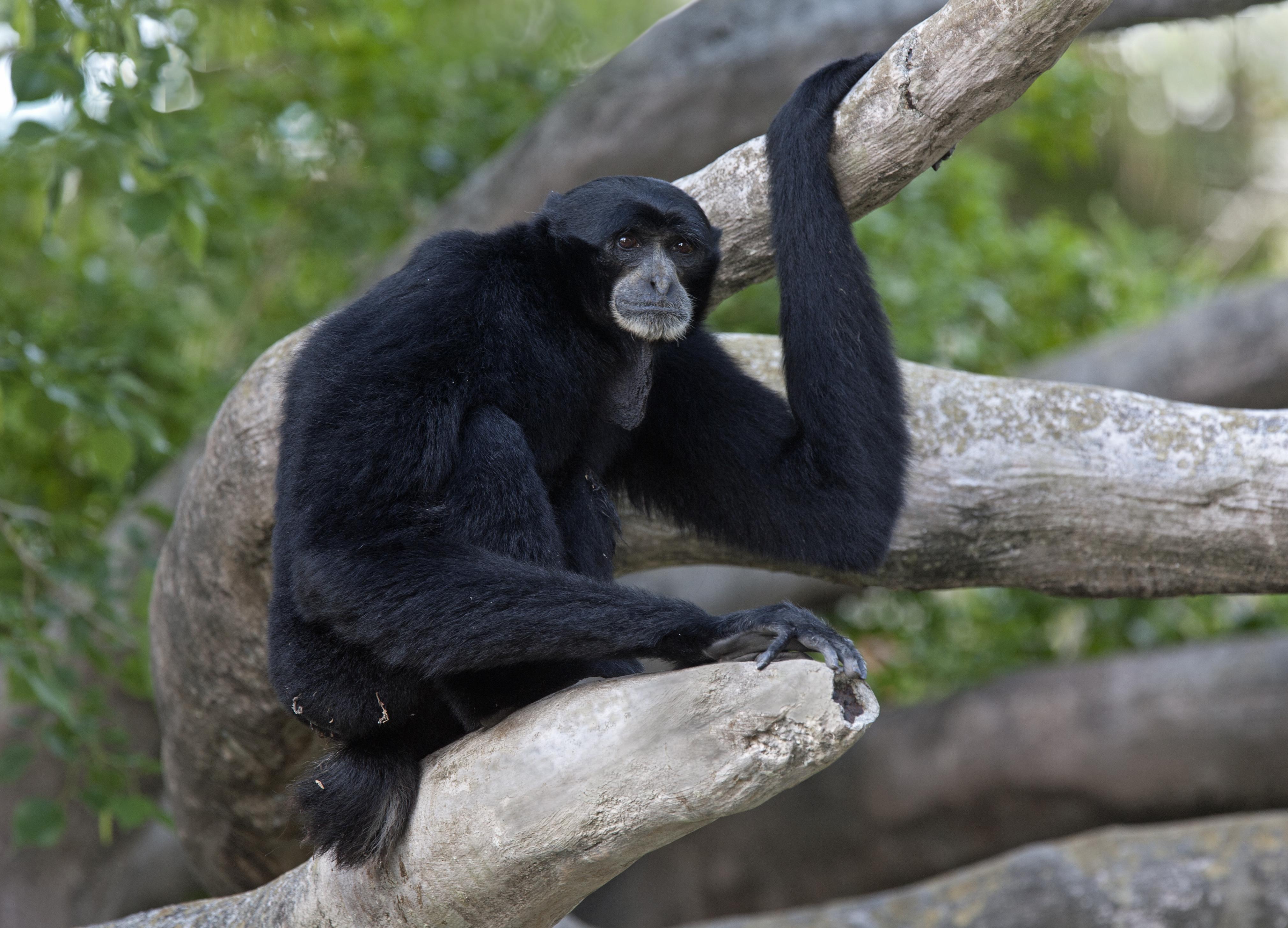 File:Siamang Miami Zoo.jpg - Wikimedia Commons