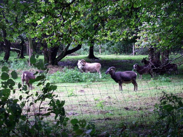 Soay sheep at Castell Henllys - geograph.org.uk - 1473474