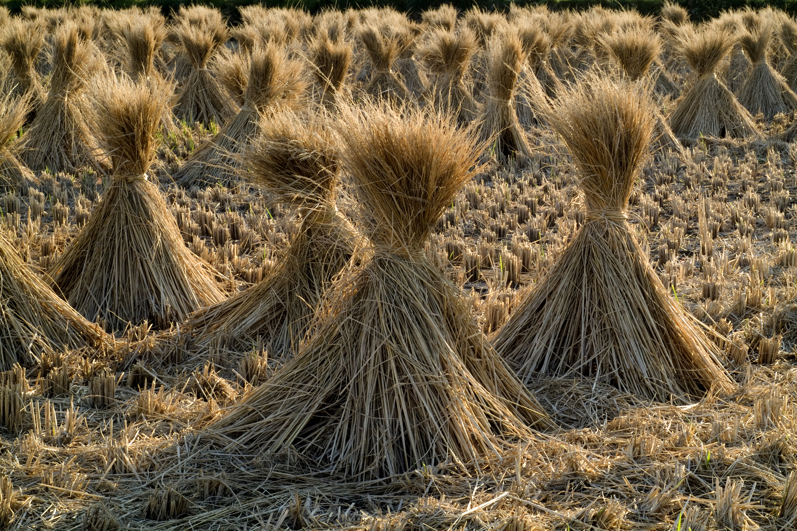 Fichier:Straw of the rice.08Oct9.jpg — Wikipédia