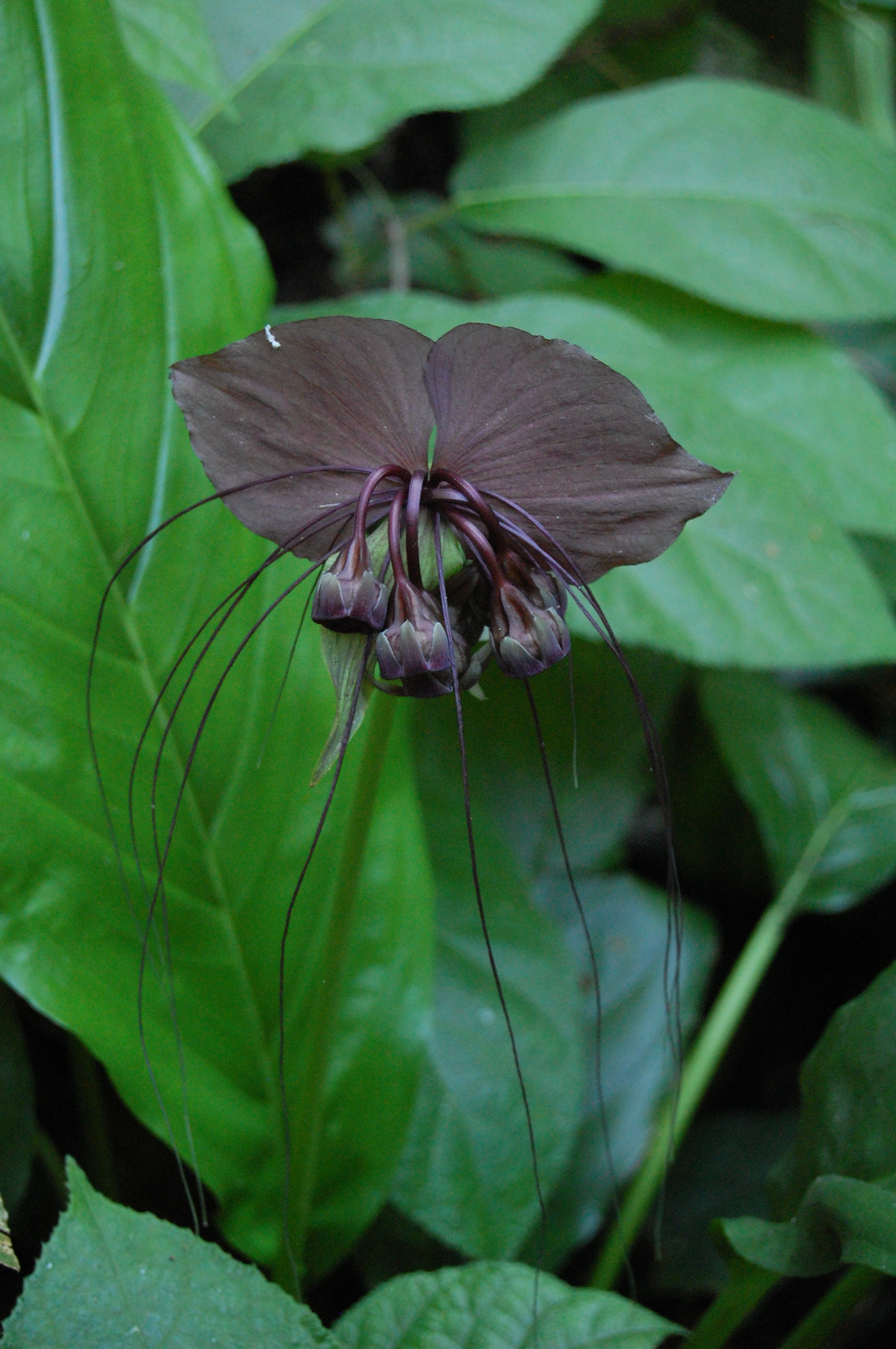 Black Bat Flower Tacca chantrieri [2000x3008] OPENPICS AEROBATIC IO