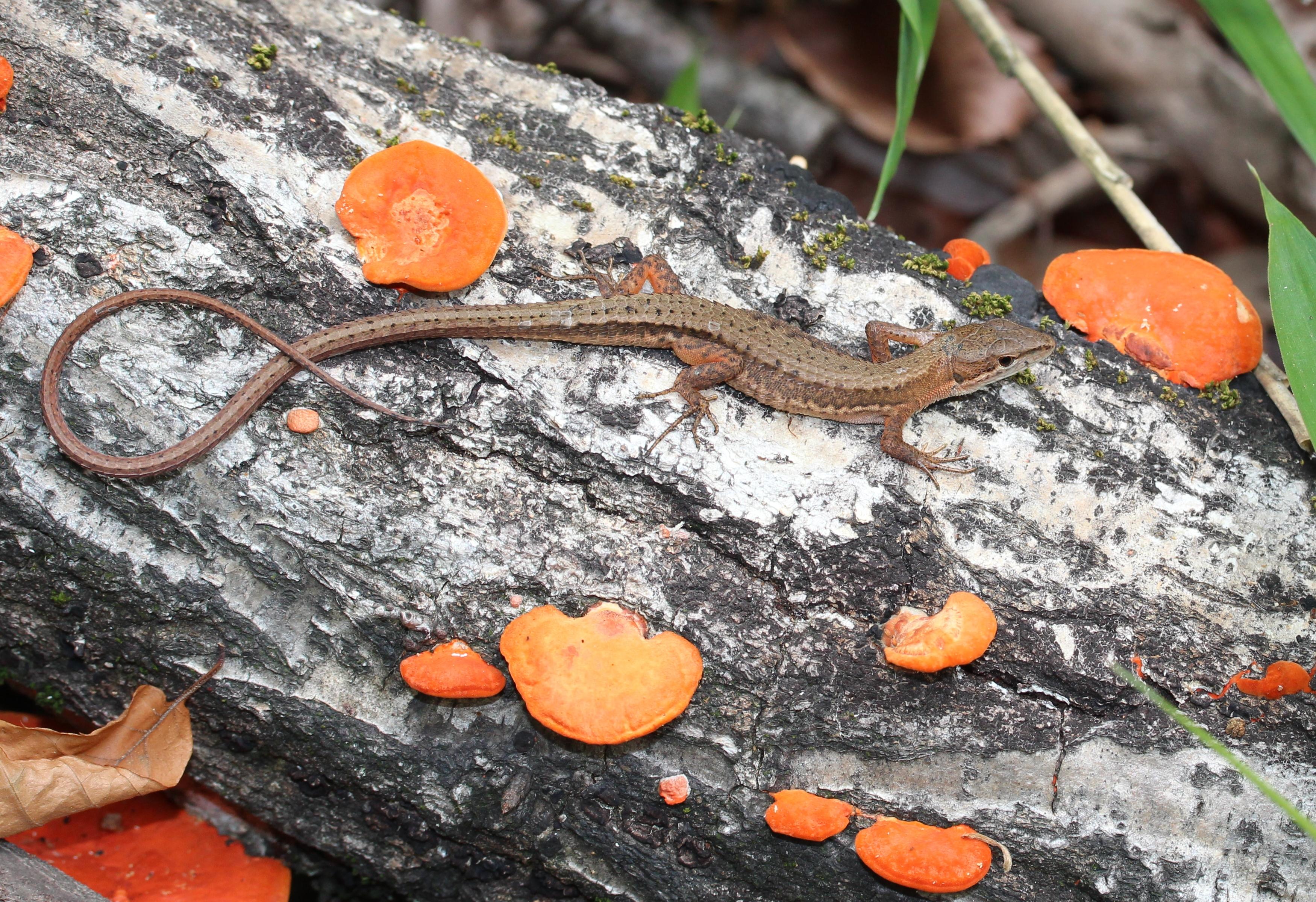 Long tailed lizard