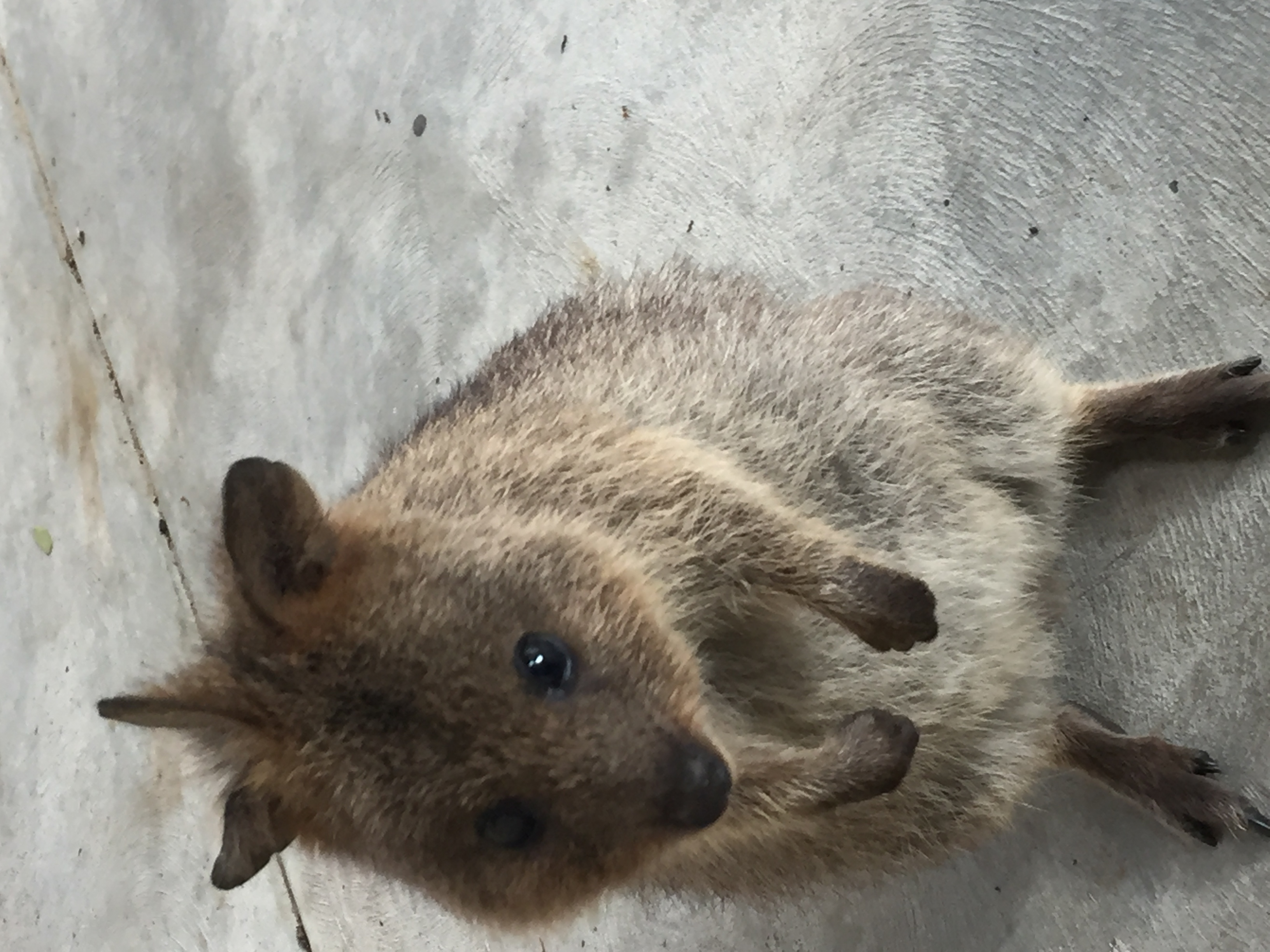 File:Three-eared quokka.jpg - Wikimedia Commons