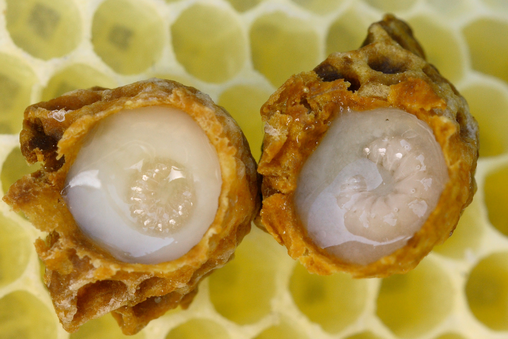 Benefits of Royal Jelly