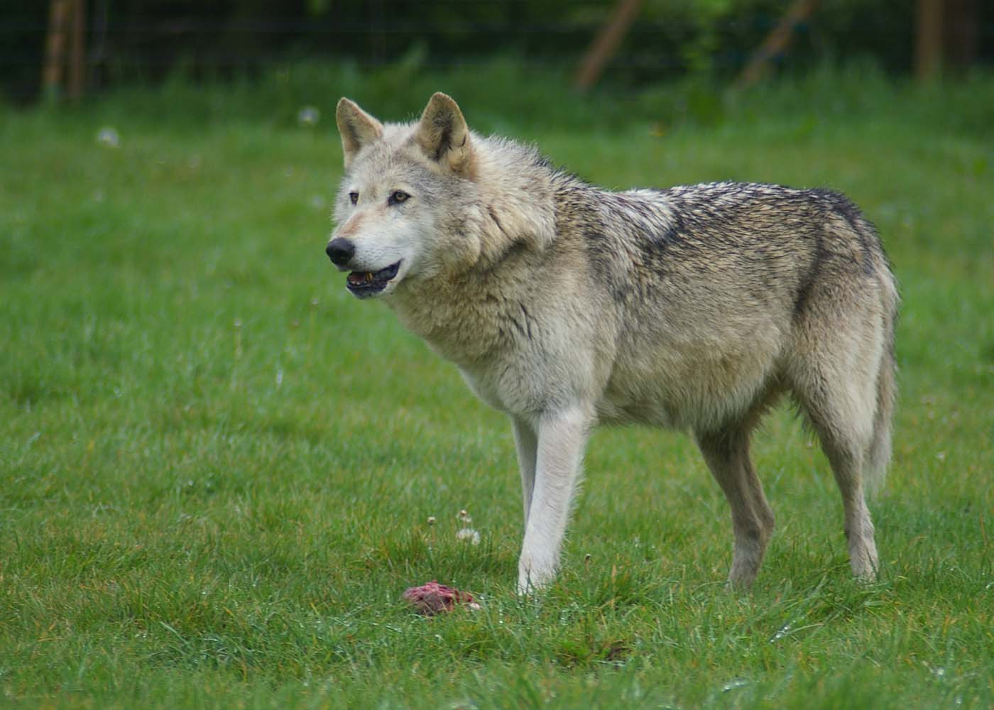 Wolf at Woburn Safari Park.jpg