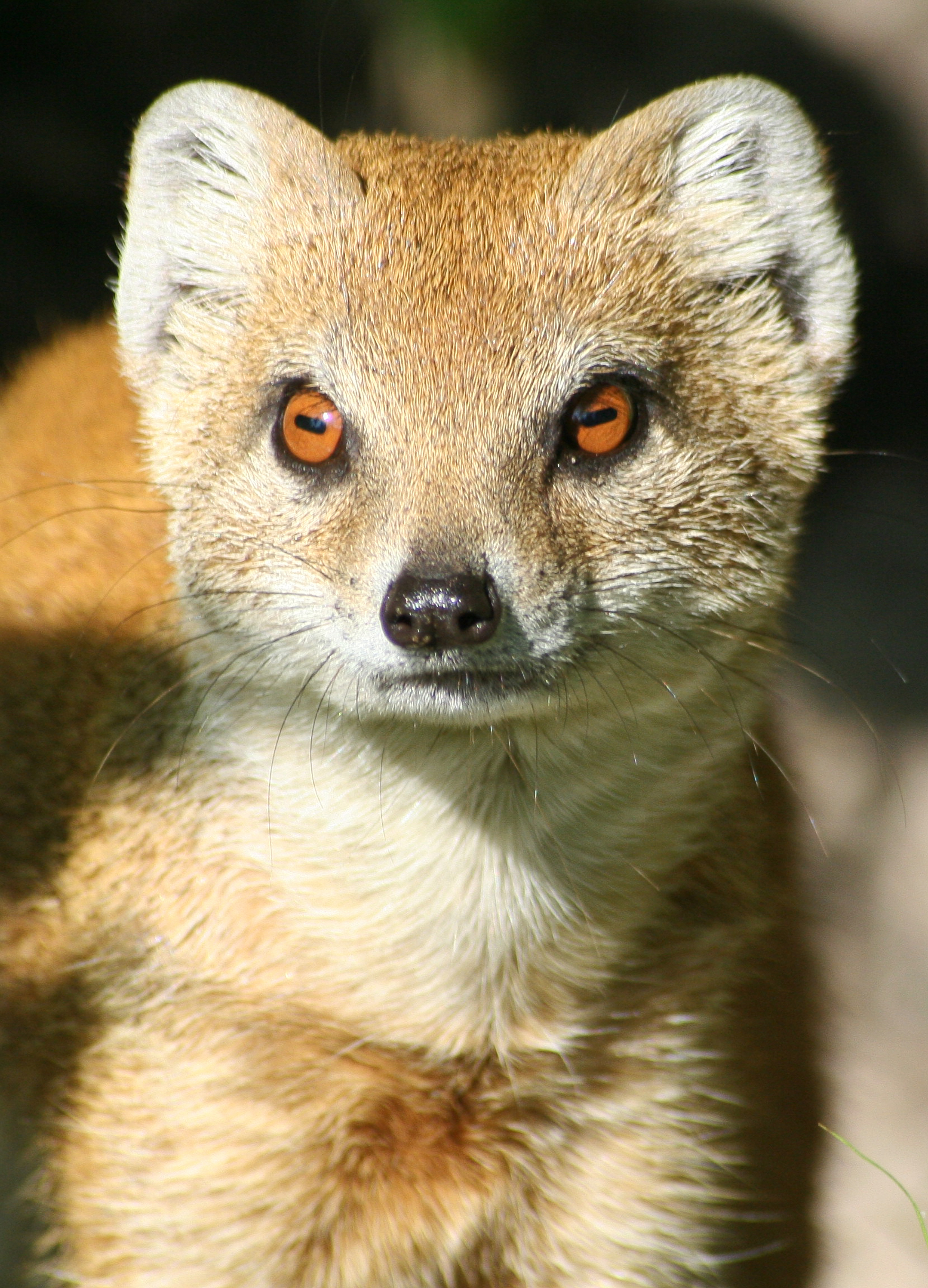 Yellow-mongoose.jpg