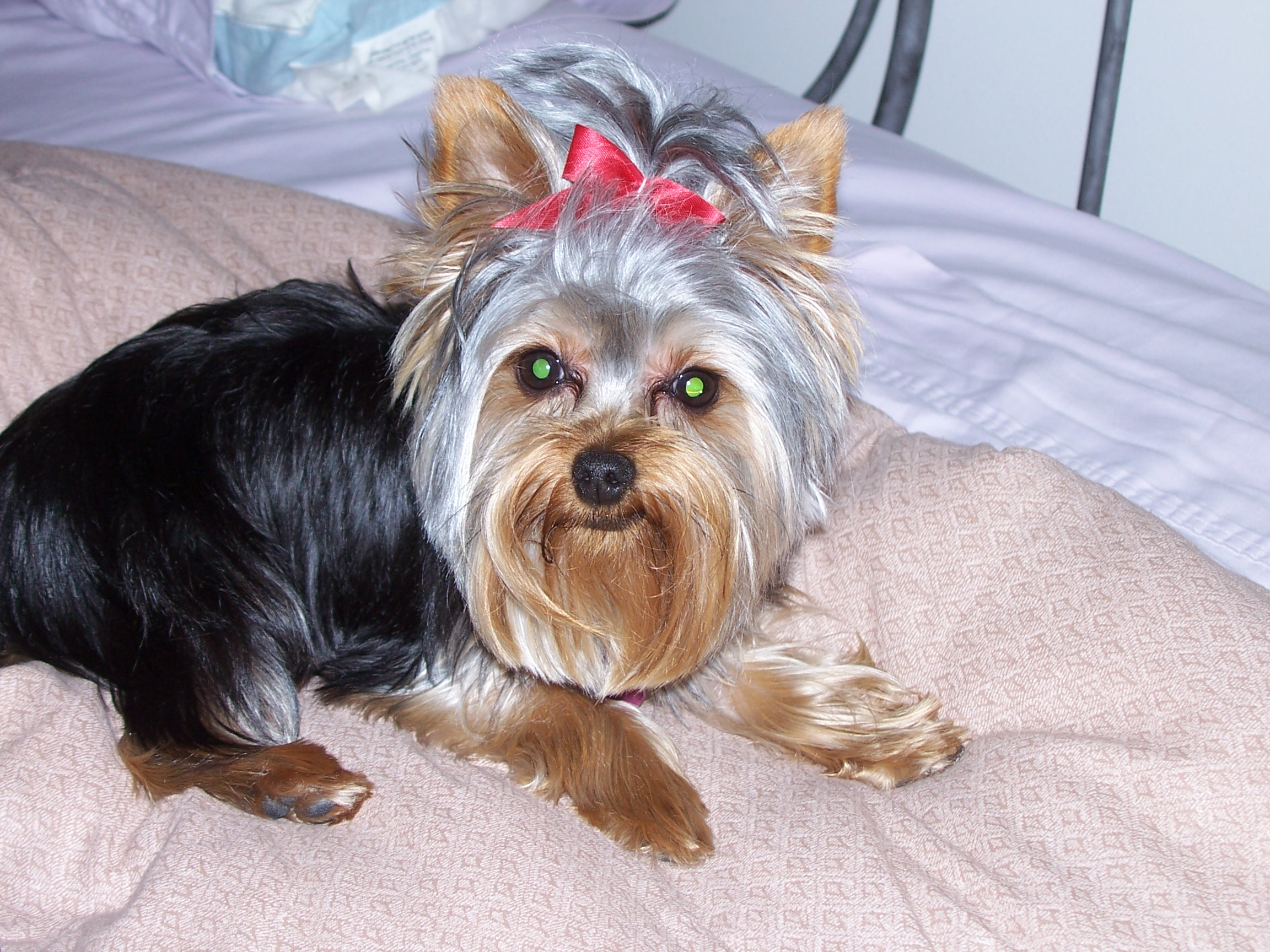 File Yorkshire Terrier In Bed Jpg Wikimedia Commons
