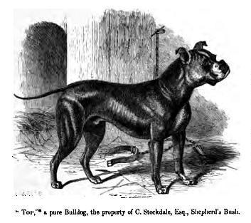 fransk bulldog bog