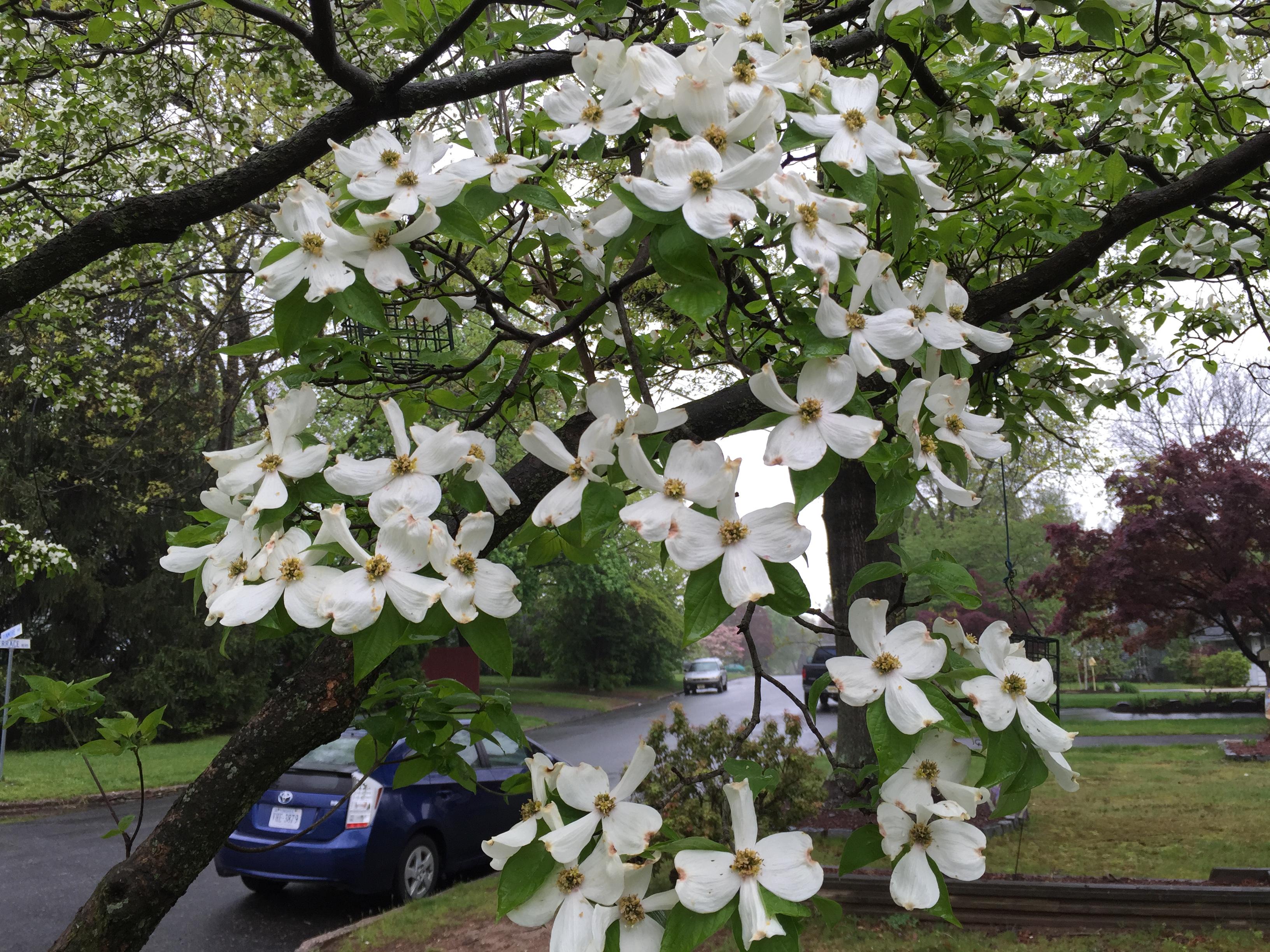 File2016 05 03 11 07 01 White Flowering Dogwood Blossoms Along