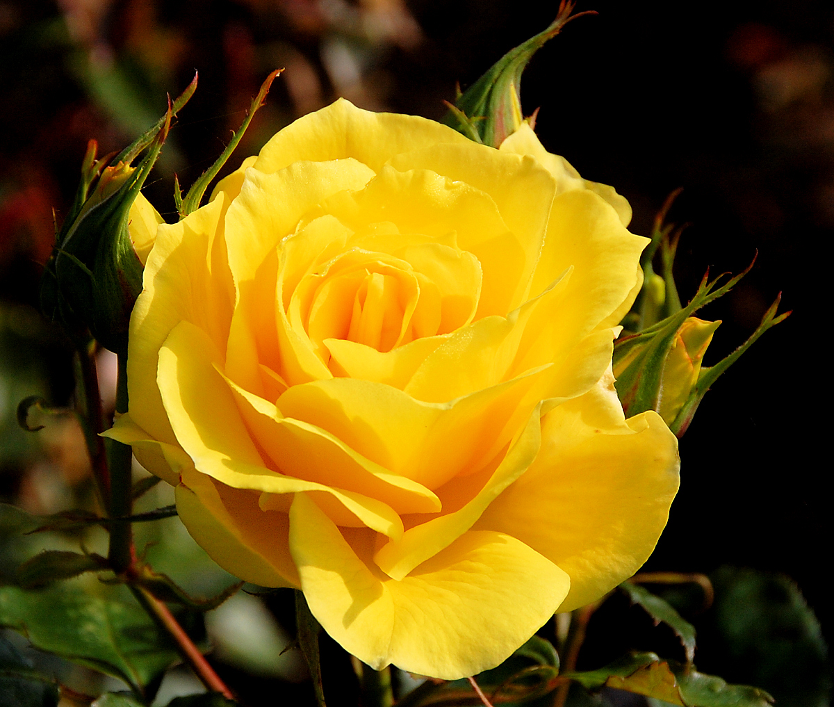 File a yellow wikimedia commons - Rosas amarillas significado ...