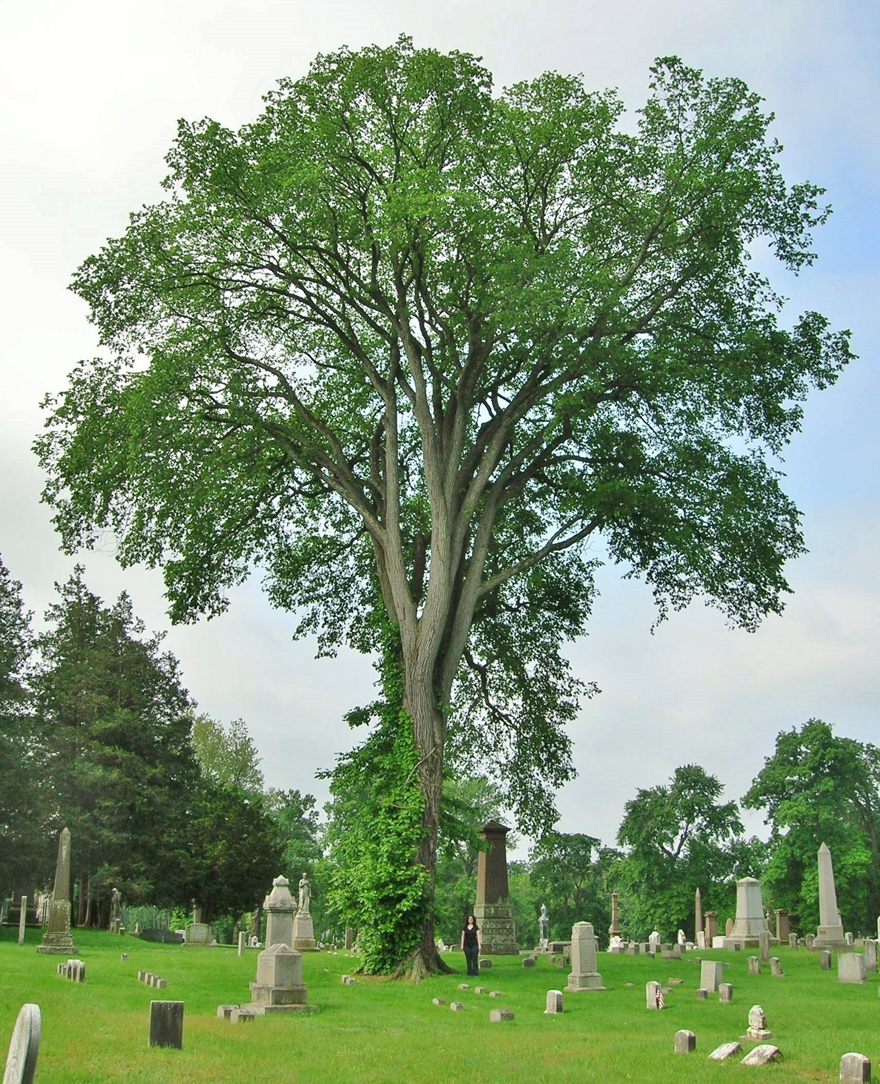 American Elm Tree For Sale | The Tree Center™