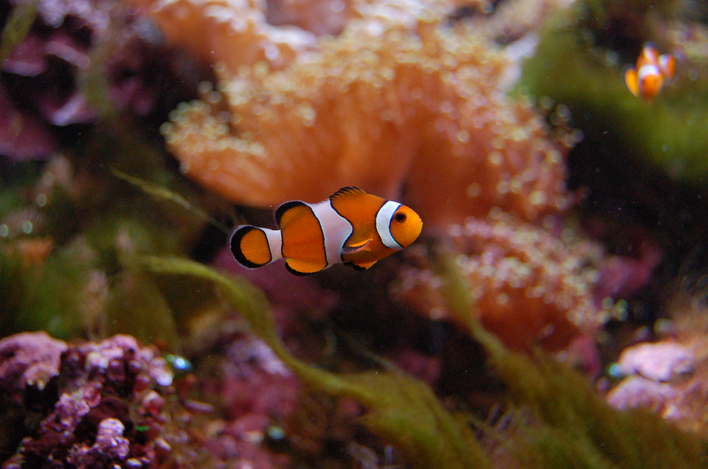 File aquarium tropical du palais de la porte dor e poisson clown2 jpg wikimedia commons - Aquarium tropical de la porte doree ...