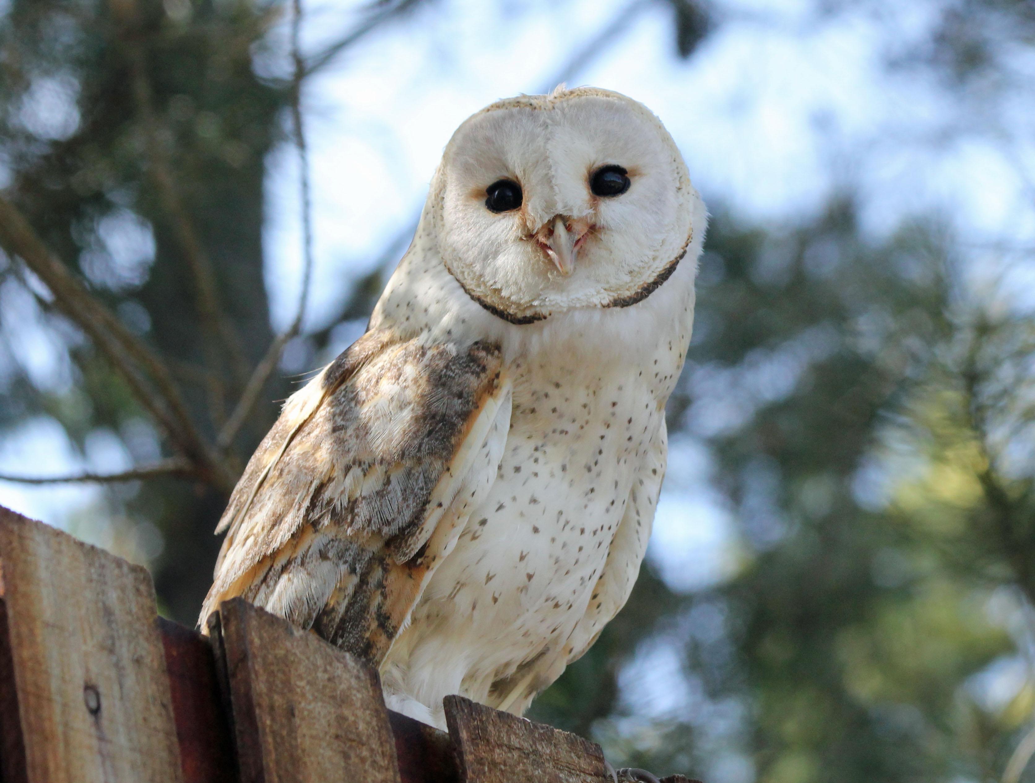 do owls migrate?