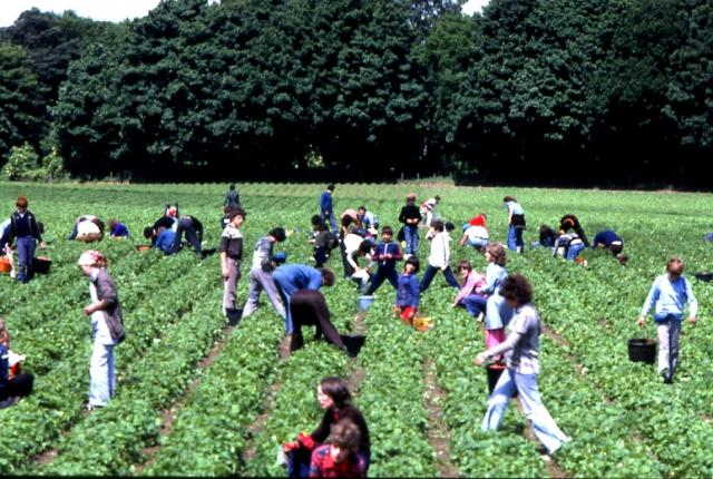 Berry pickers in the Carse of Gowrie - geograph.org.uk - 3147