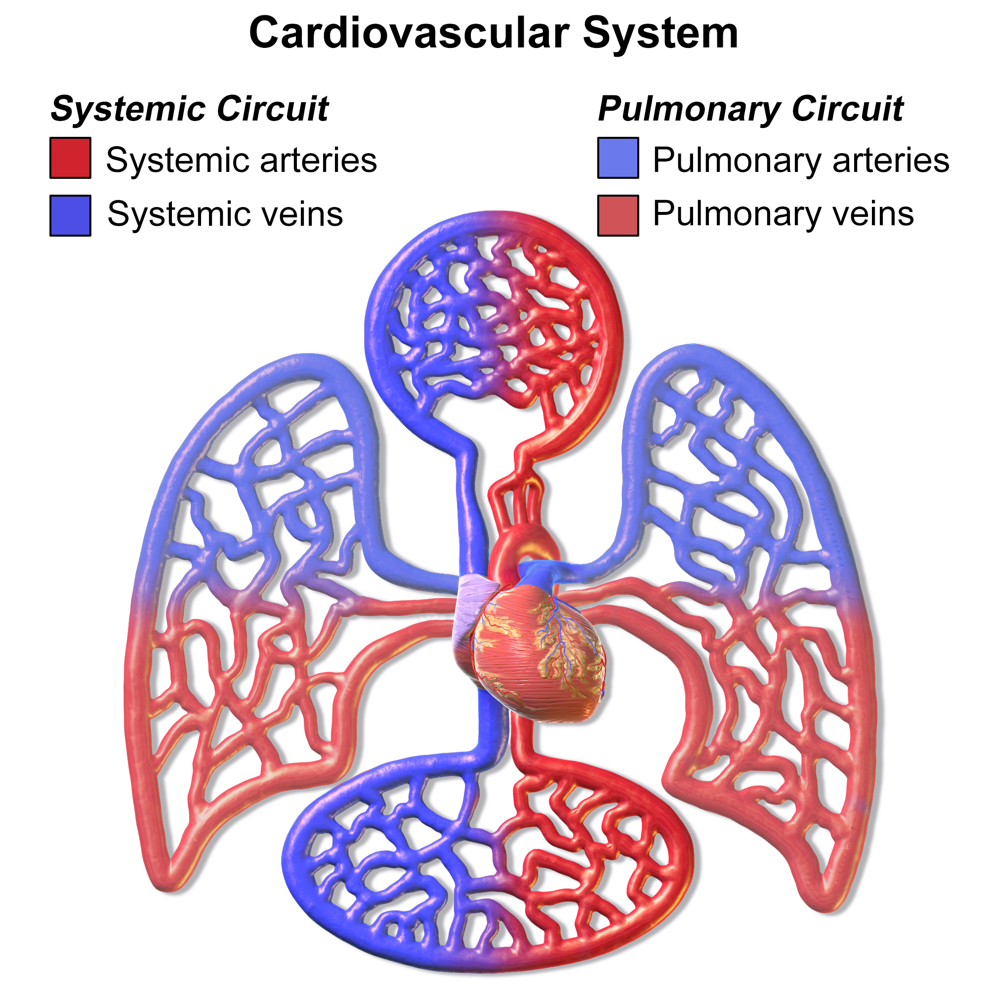 Systemic circulation and pulmonary circulation | DownHouseSoftware
