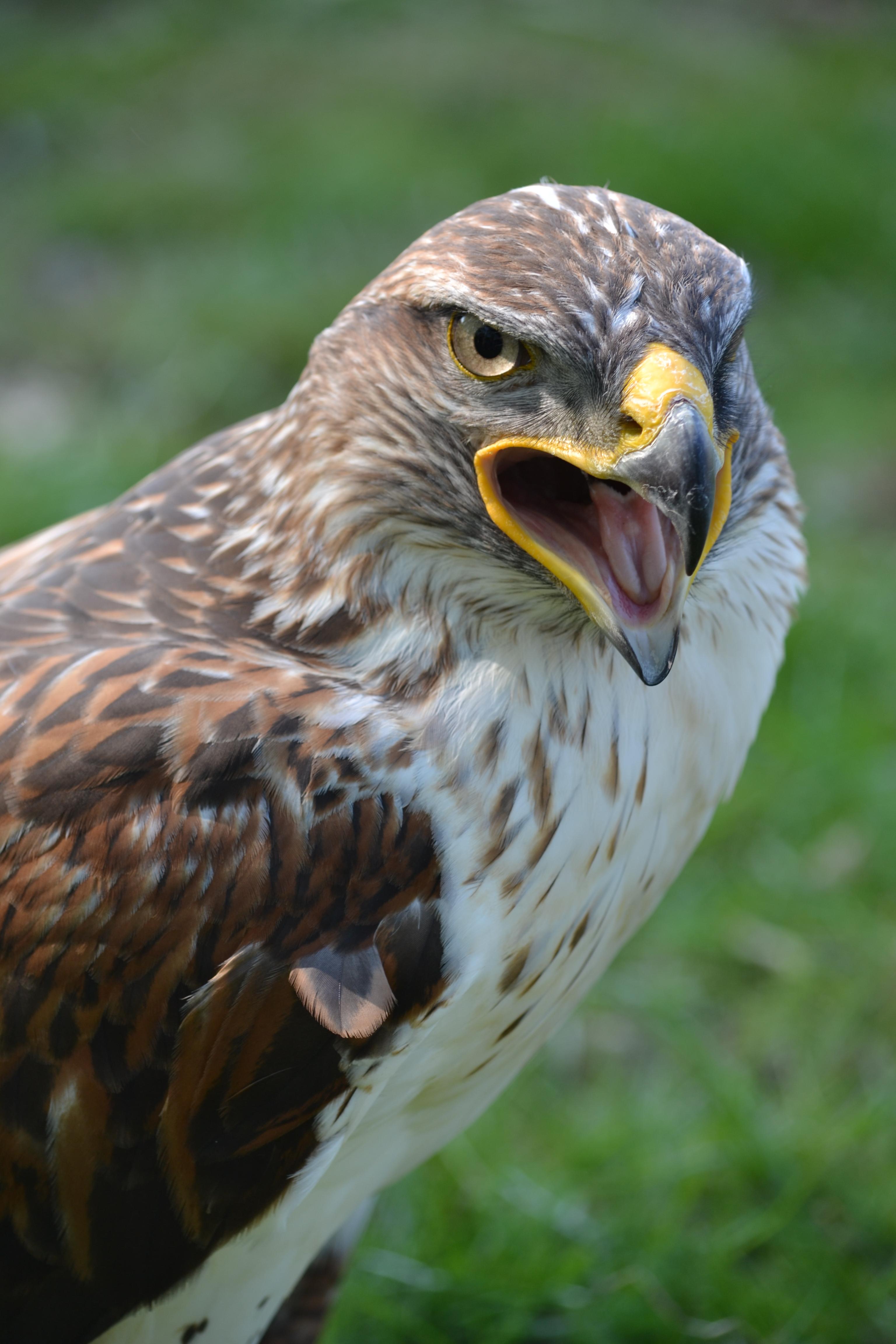 Tập tin:Buteo regalis aka Ferruginous Hawk aka King Hawk ...