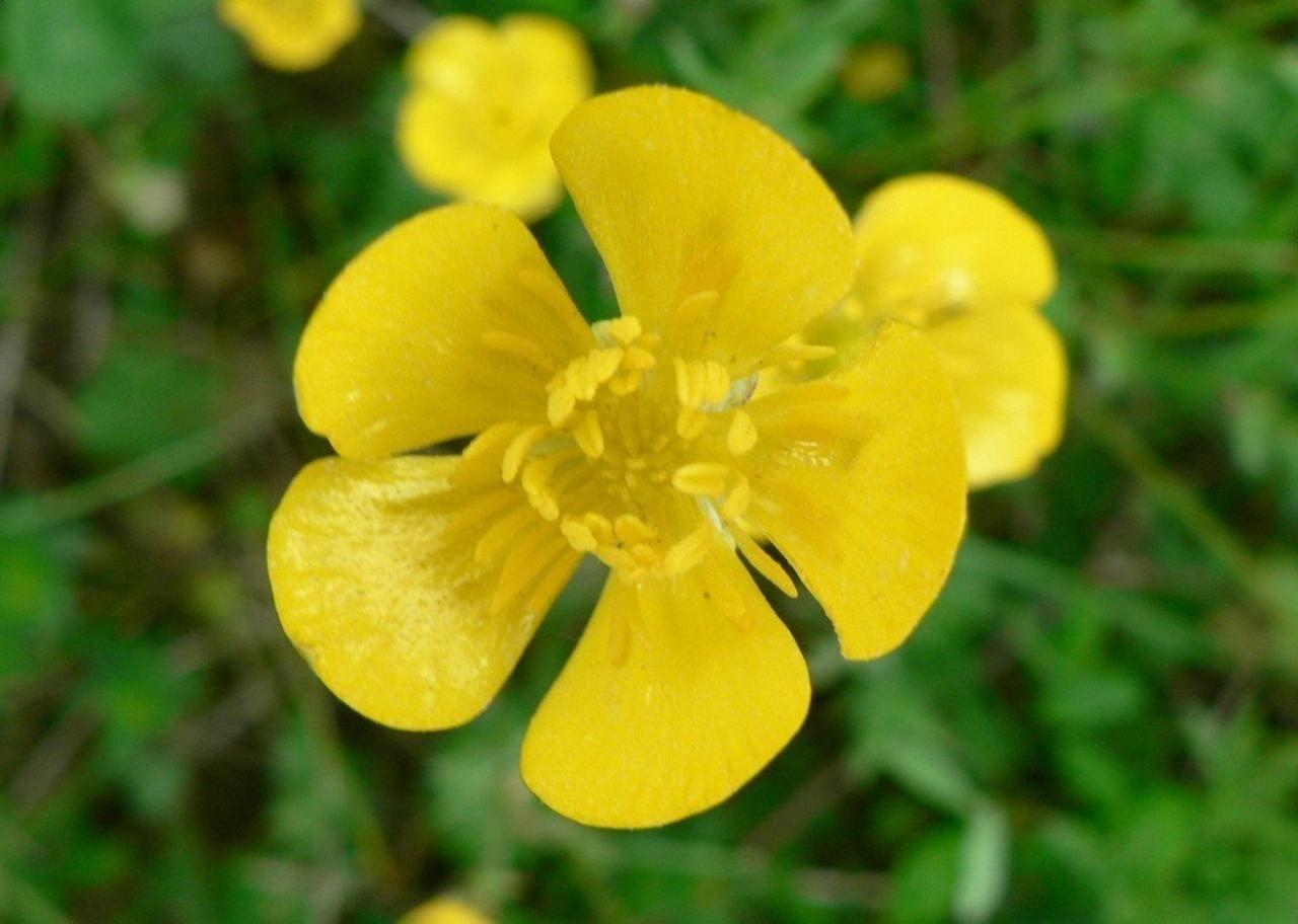 File Buttercup flower