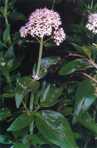 Centranthus trinervis.jpg
