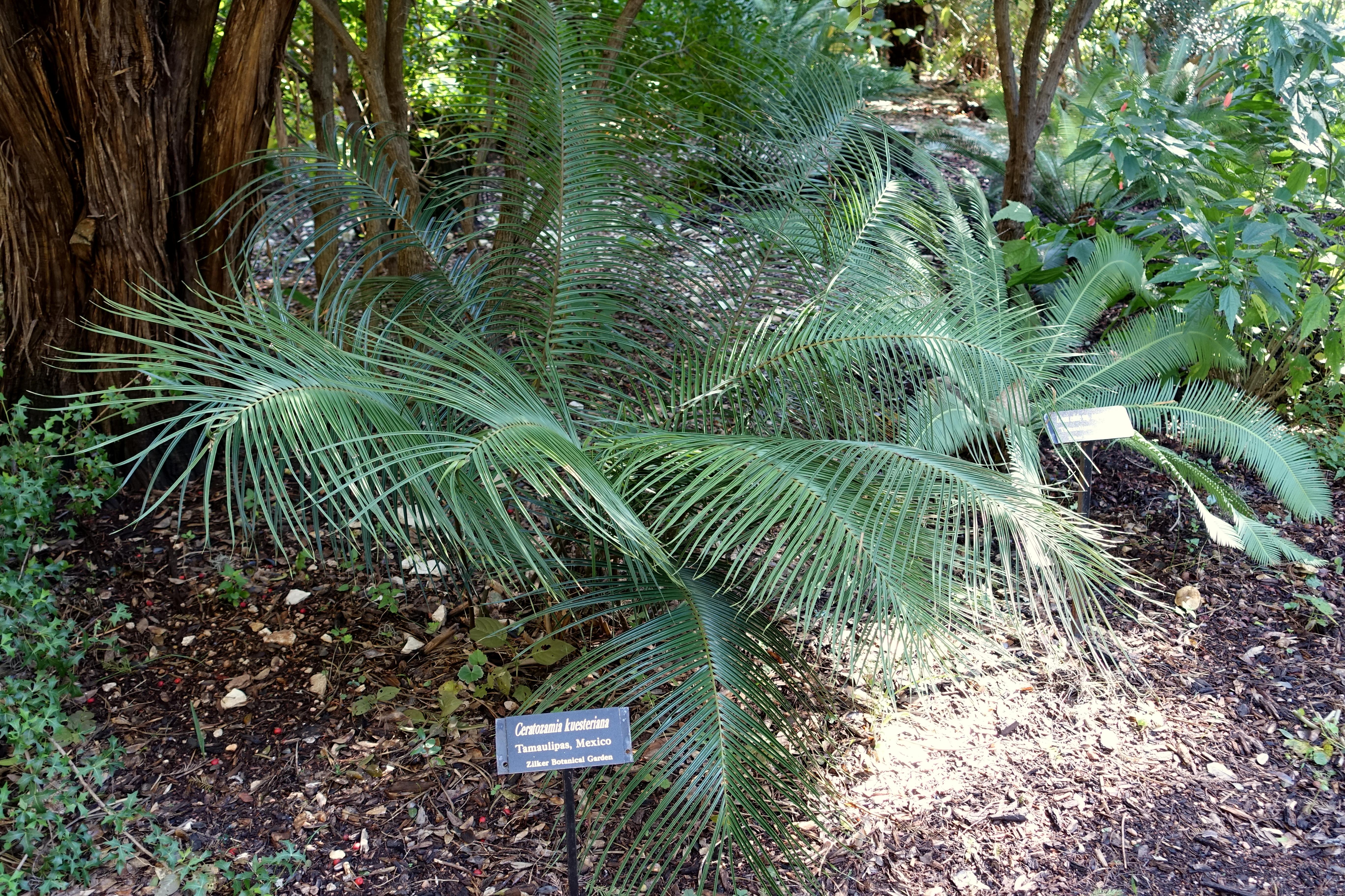 File:Ceratozamia Kuesteriana   Zilker Botanical Garden   Austin, Texas    DSC08976