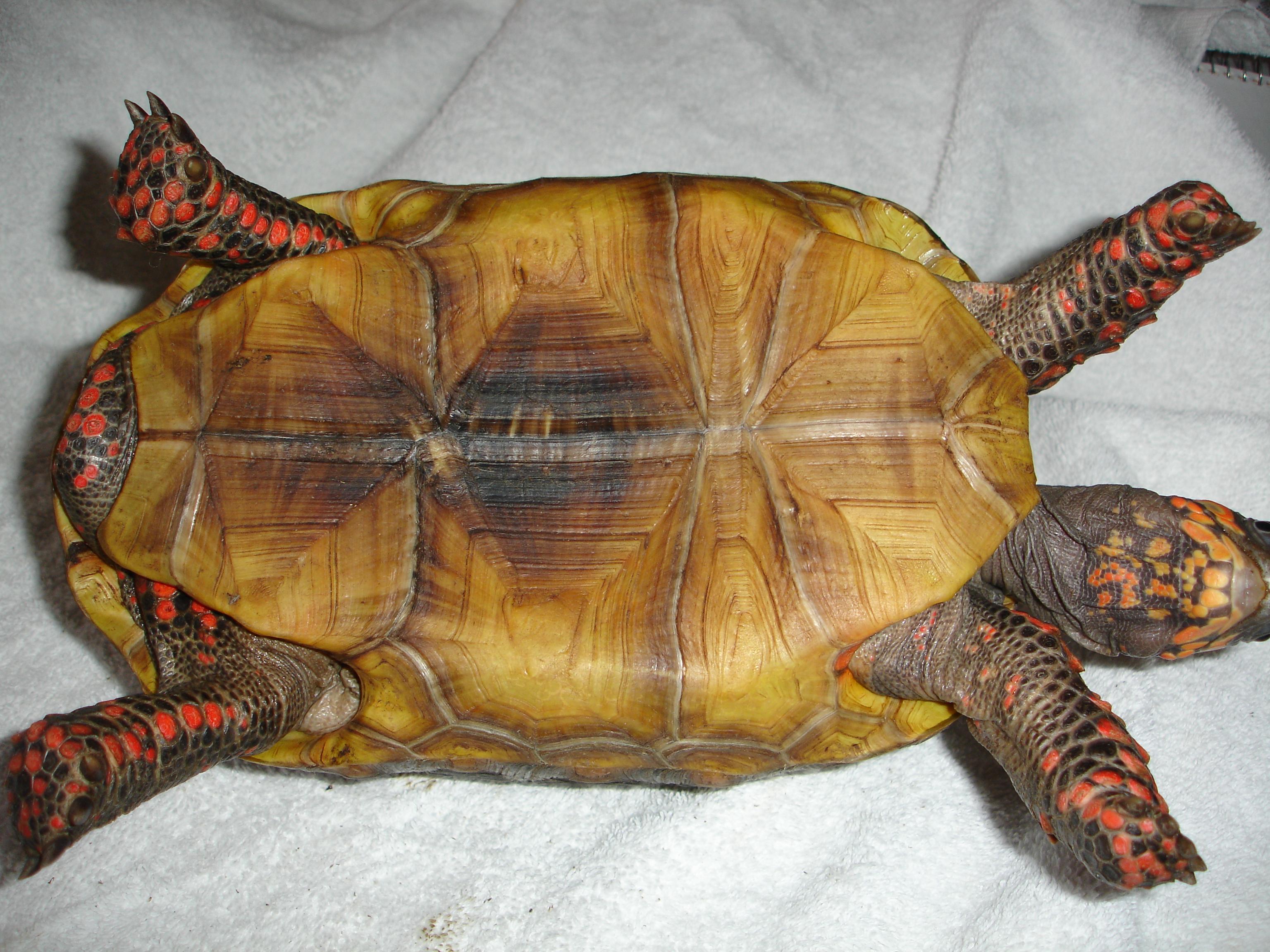 File chelonoidis carbonaria plastron jpg wikimedia commons