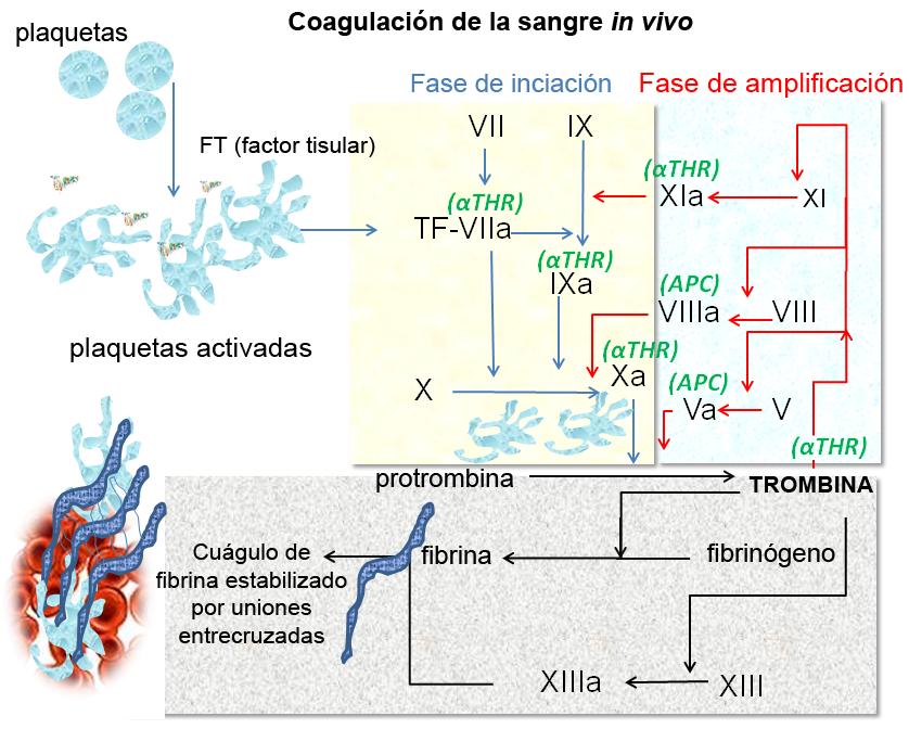 Coagulación - Wikipedia, la enciclopedia libre