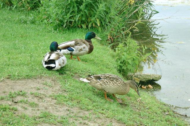 Danson Park Ducks - geograph.org.uk - 899248