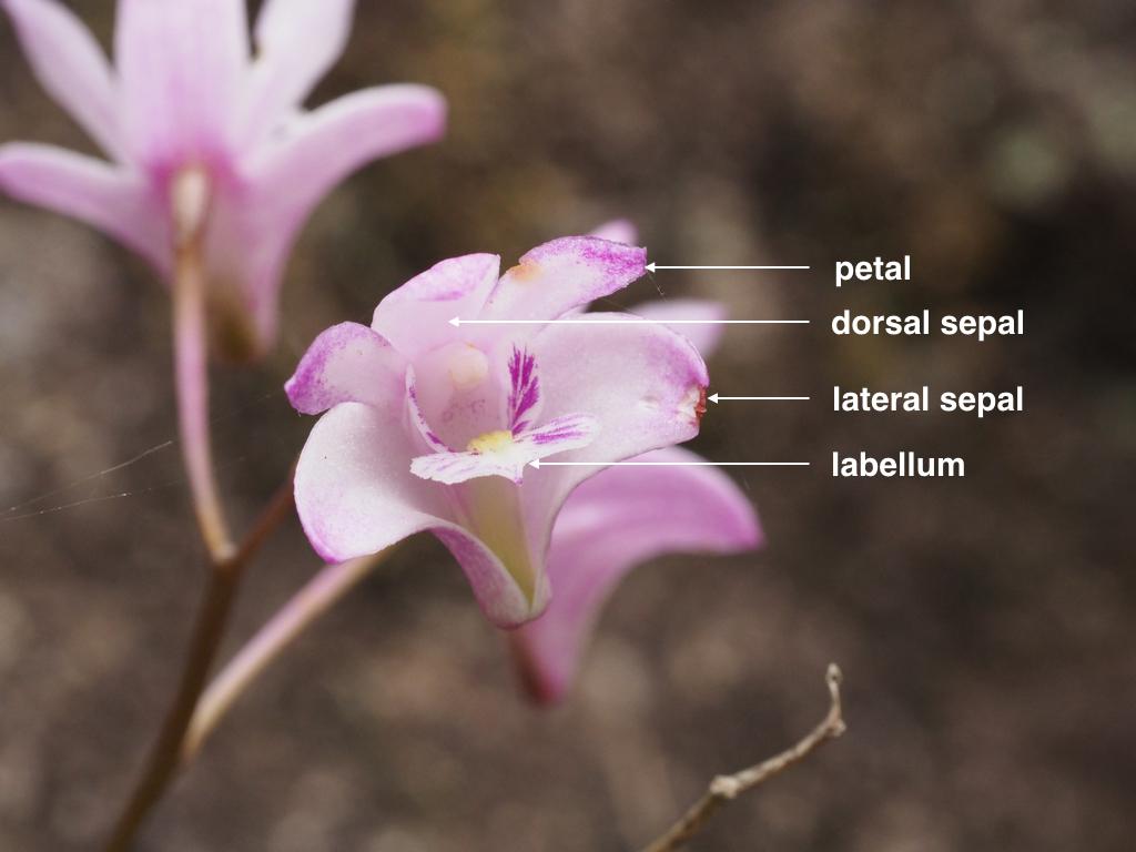 Dendrobium kingianum (labelled).jpg