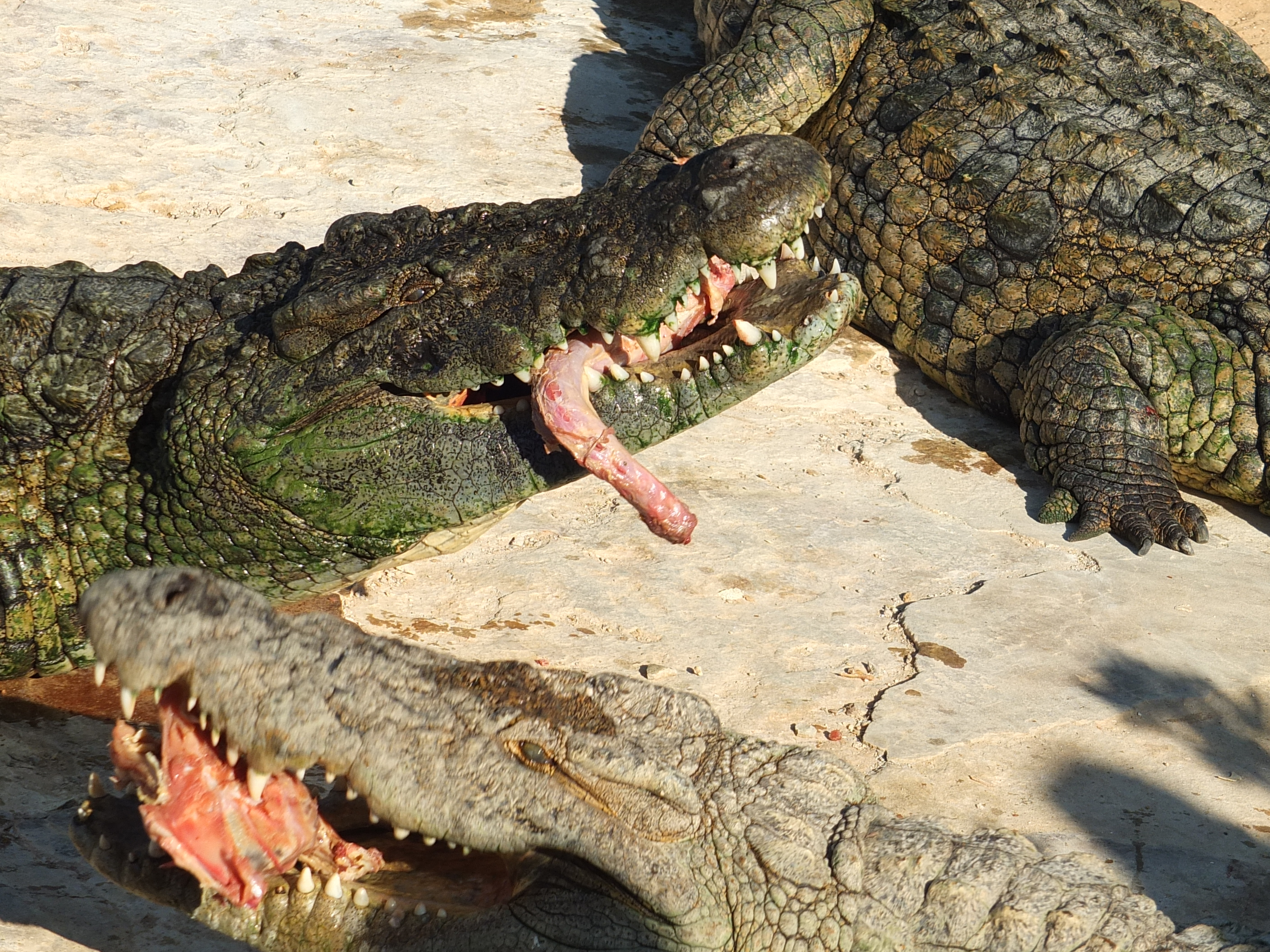 File:Djerba Explore Nile Crocodiles eating 02.JPG ...