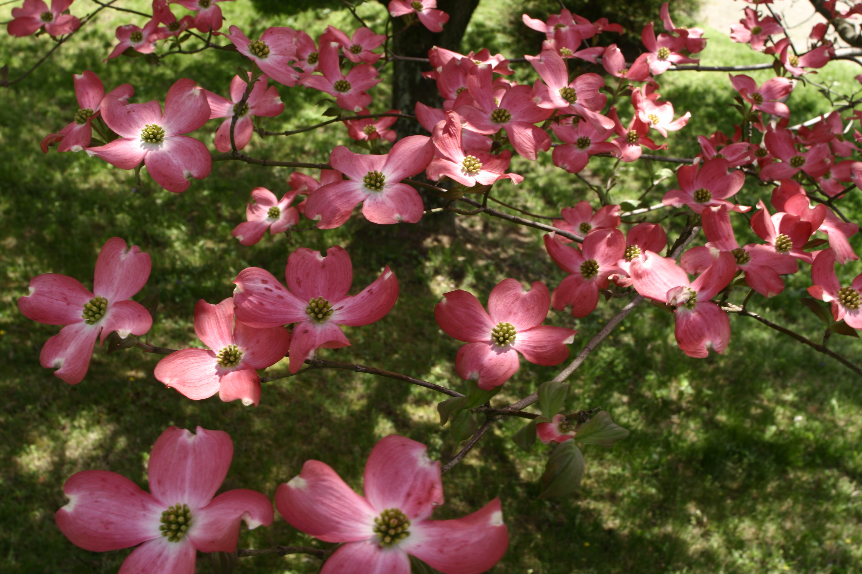 graphic relating to Legend of the Dogwood Tree Printable referred to as Dogwood Tree Record - Backyard garden Drive