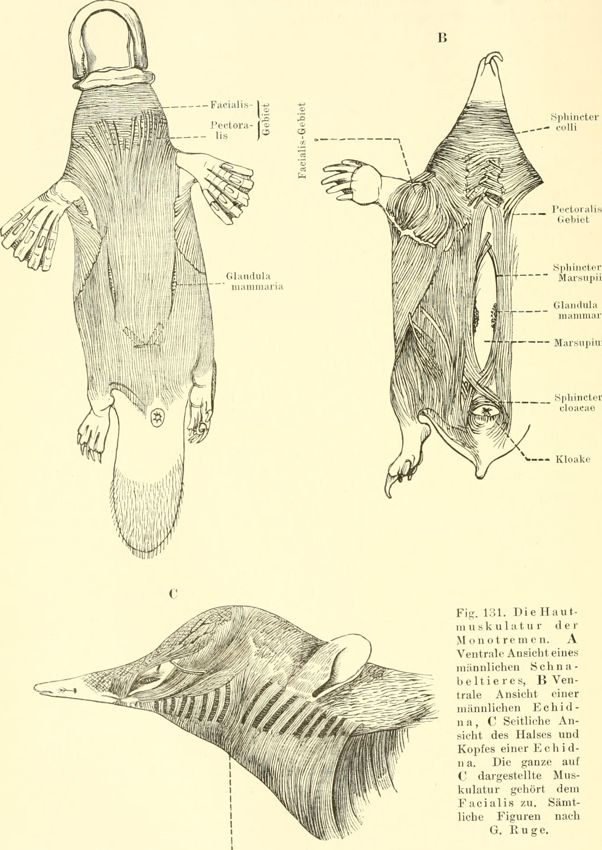 Schön Einführung In Die Anatomie Und Physiologie Gutherz Willcox ...